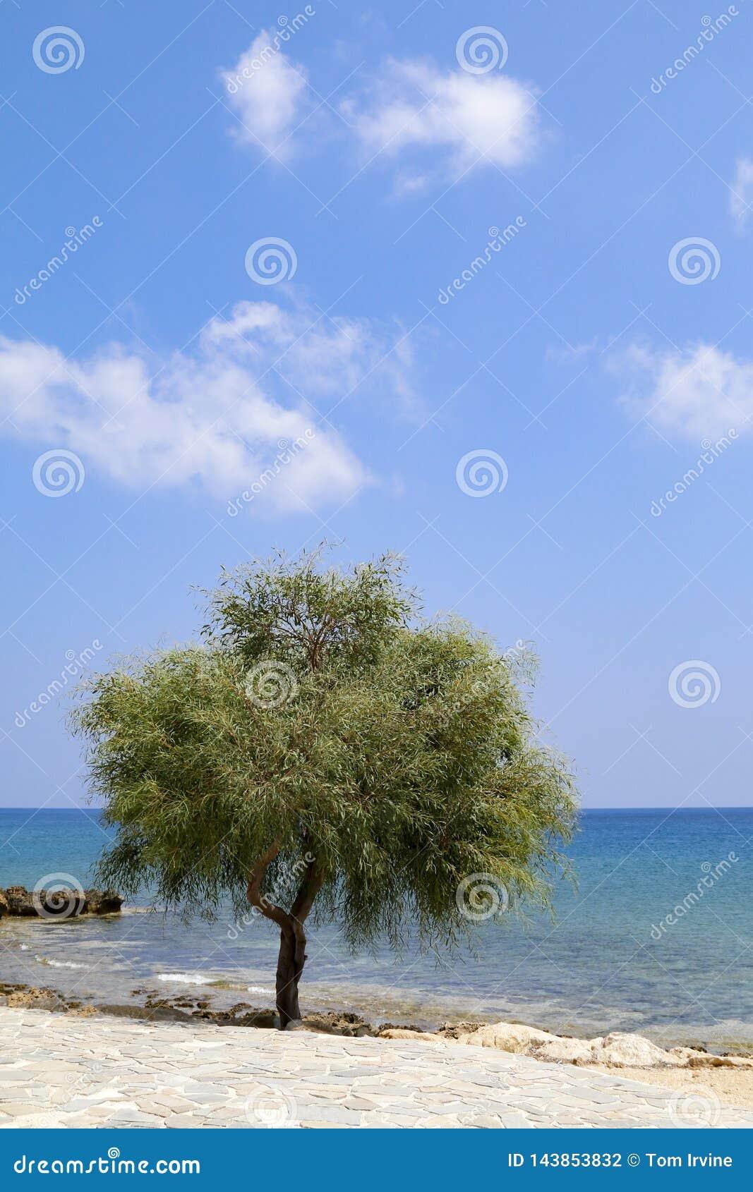 Ensamt tr?d bredvid havet p? solig dag med bl? himmel