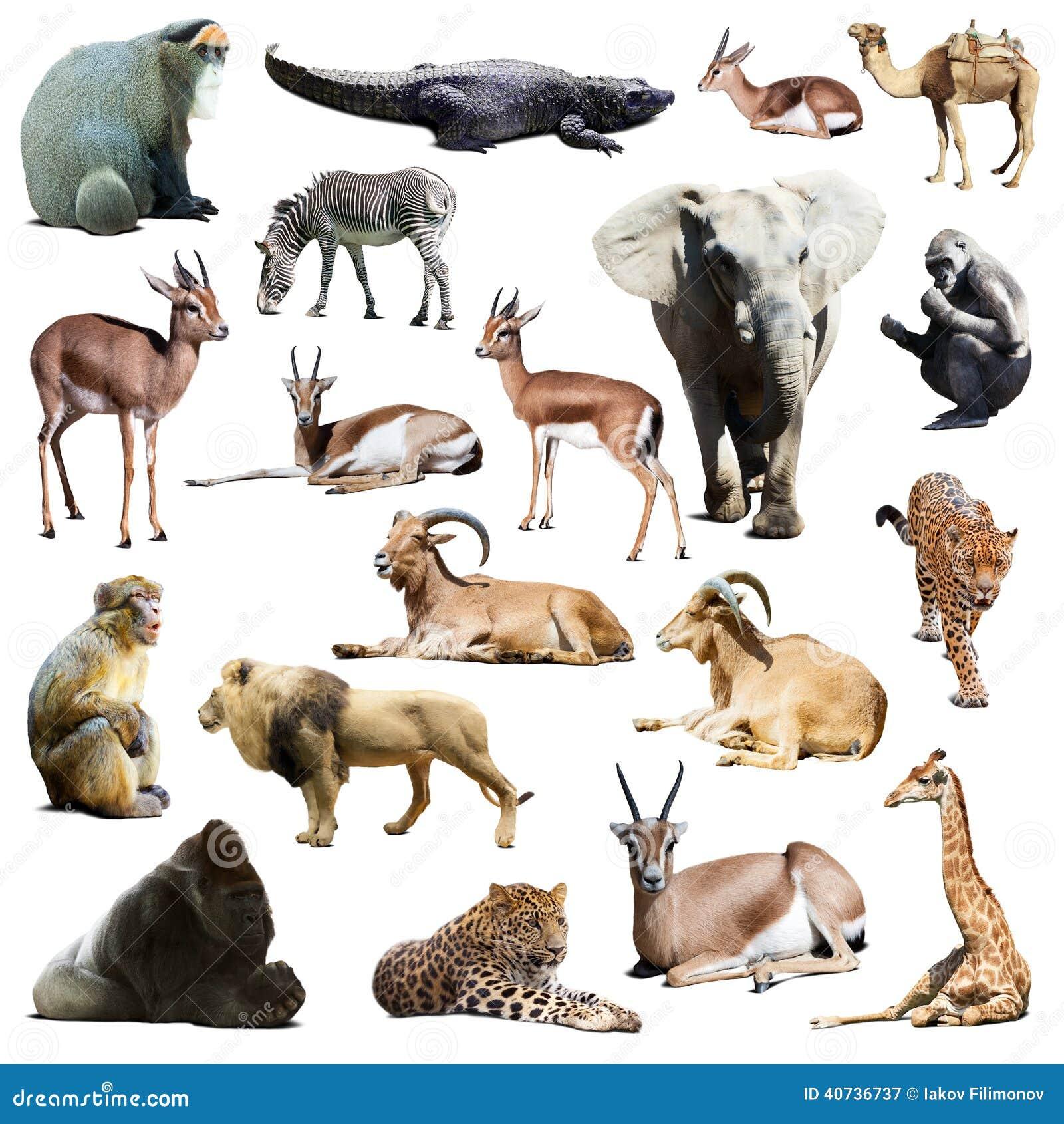 Extrêmement Ensemble D'animaux Africains D'isolement Sur Le Blanc Image stock  NT02