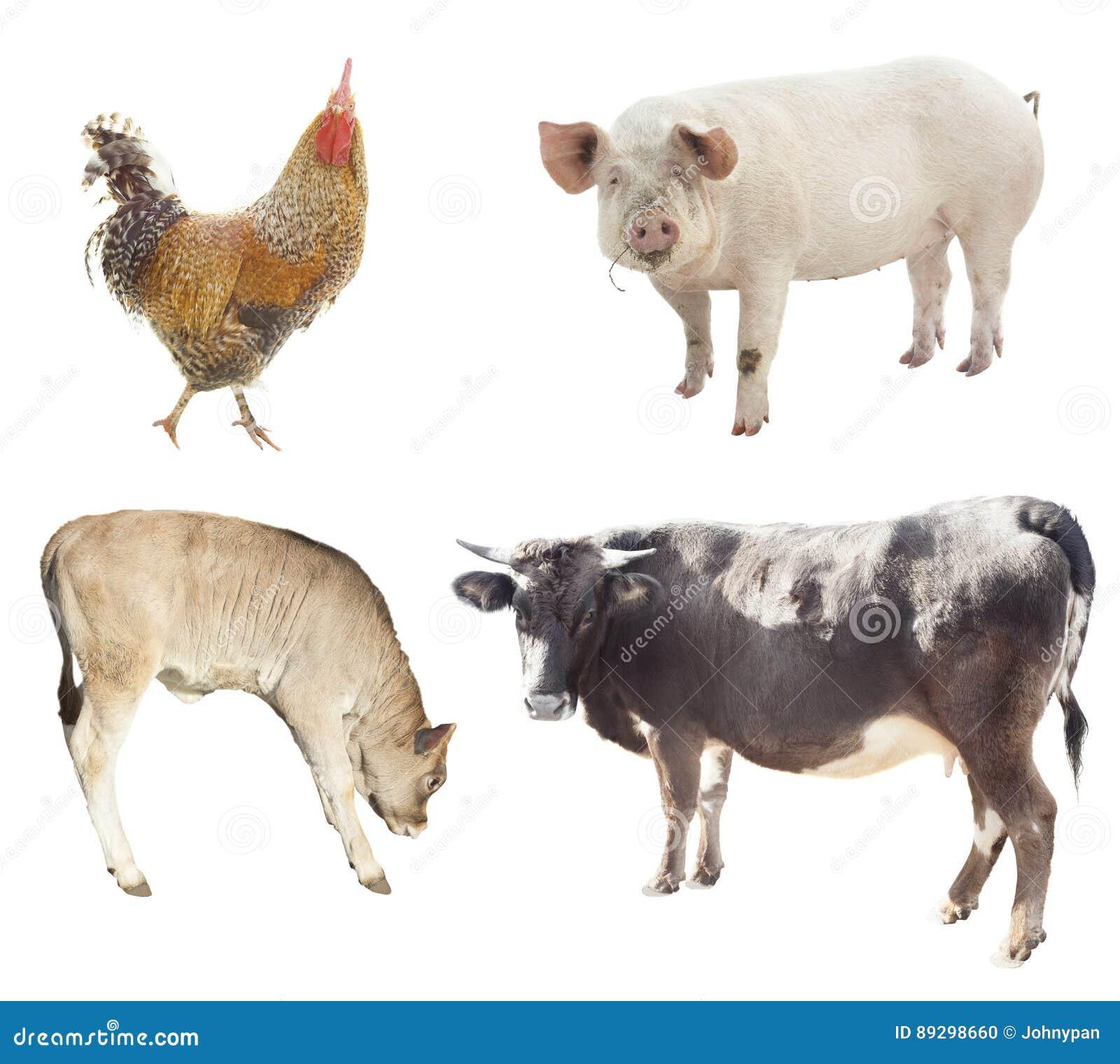 Ensemble d animaux de ferme poulet, porc, vache