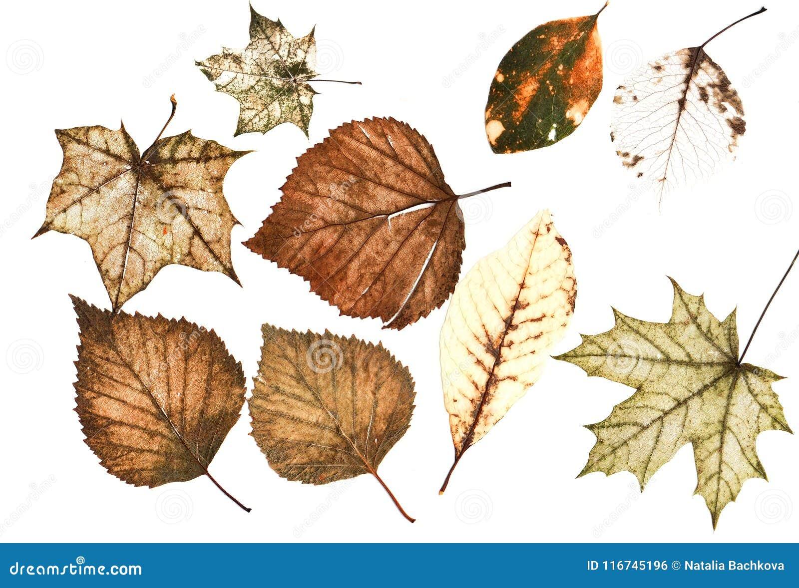 Ensemble de beaucoup de vieilles feuilles d automne délabrées multicolores lumineuses o