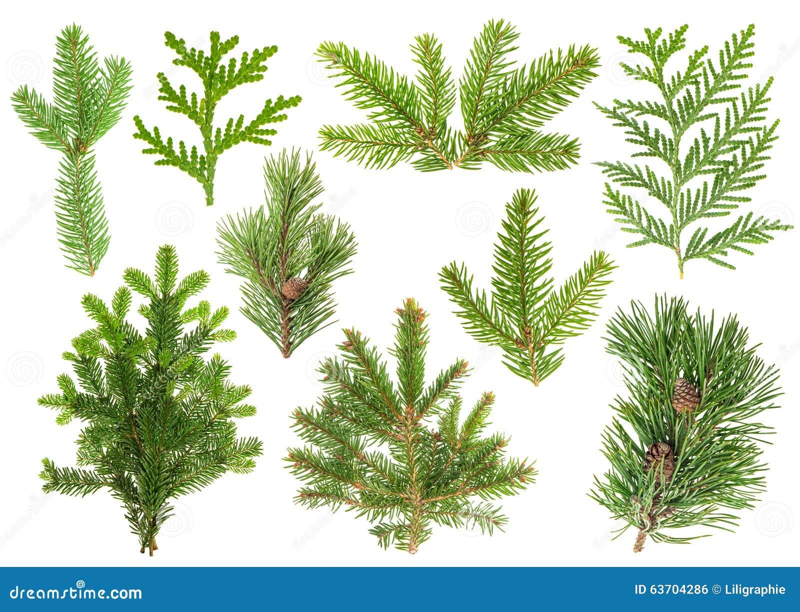 ensemble de branches d 39 arbre conif re sapin pin thuja sapin photo stock image 63704286. Black Bedroom Furniture Sets. Home Design Ideas