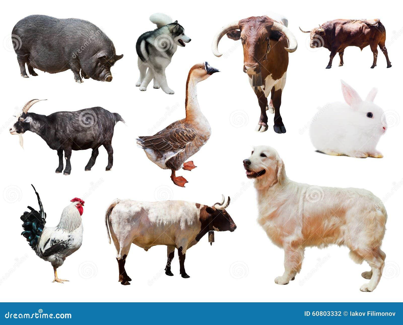 Ensemble de chiens et d autres animaux de ferme au-dessus de blanc