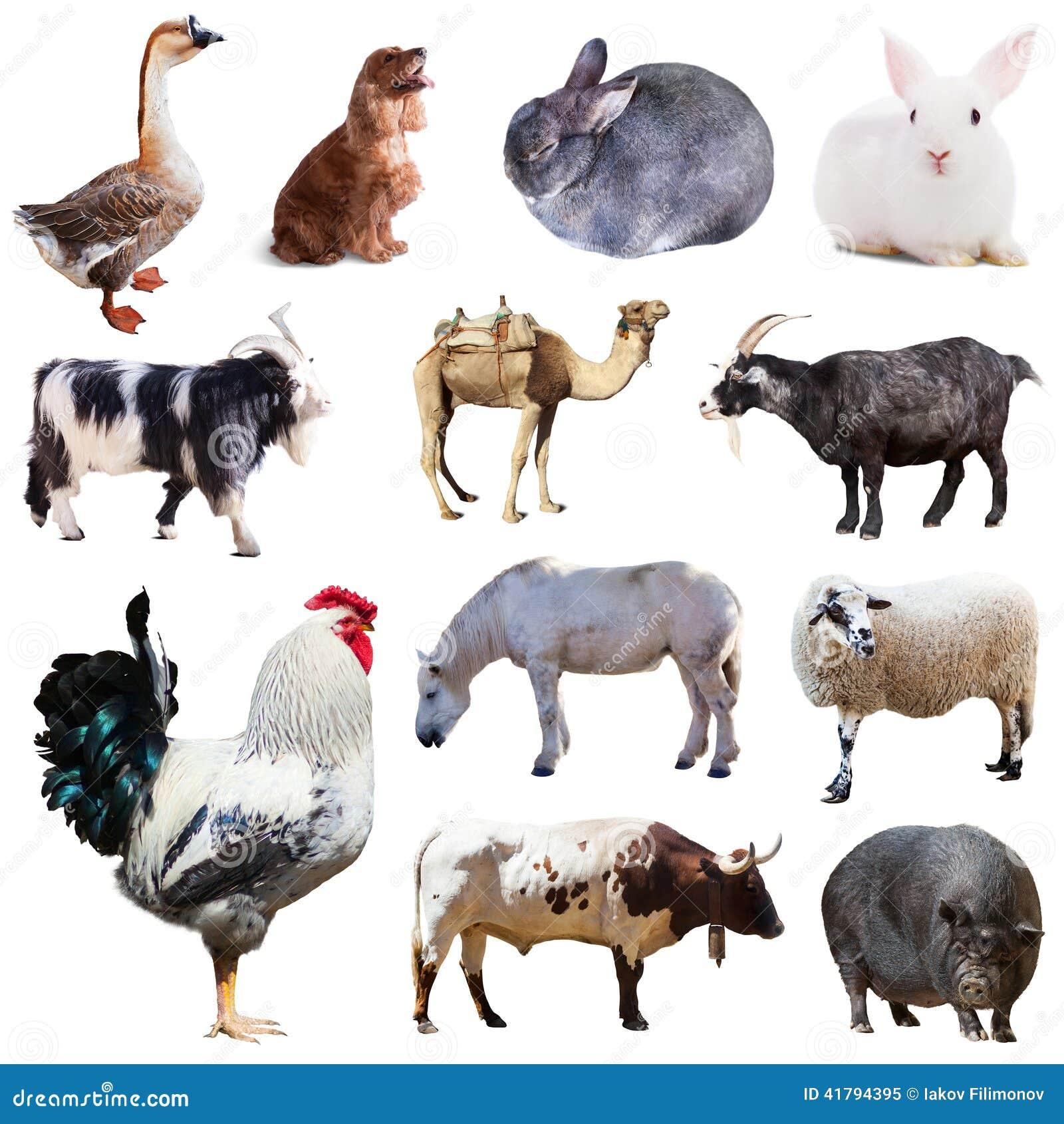 Ensemble de coq et d 39 autres animaux de ferme d 39 isolement - Images d animaux de la ferme ...
