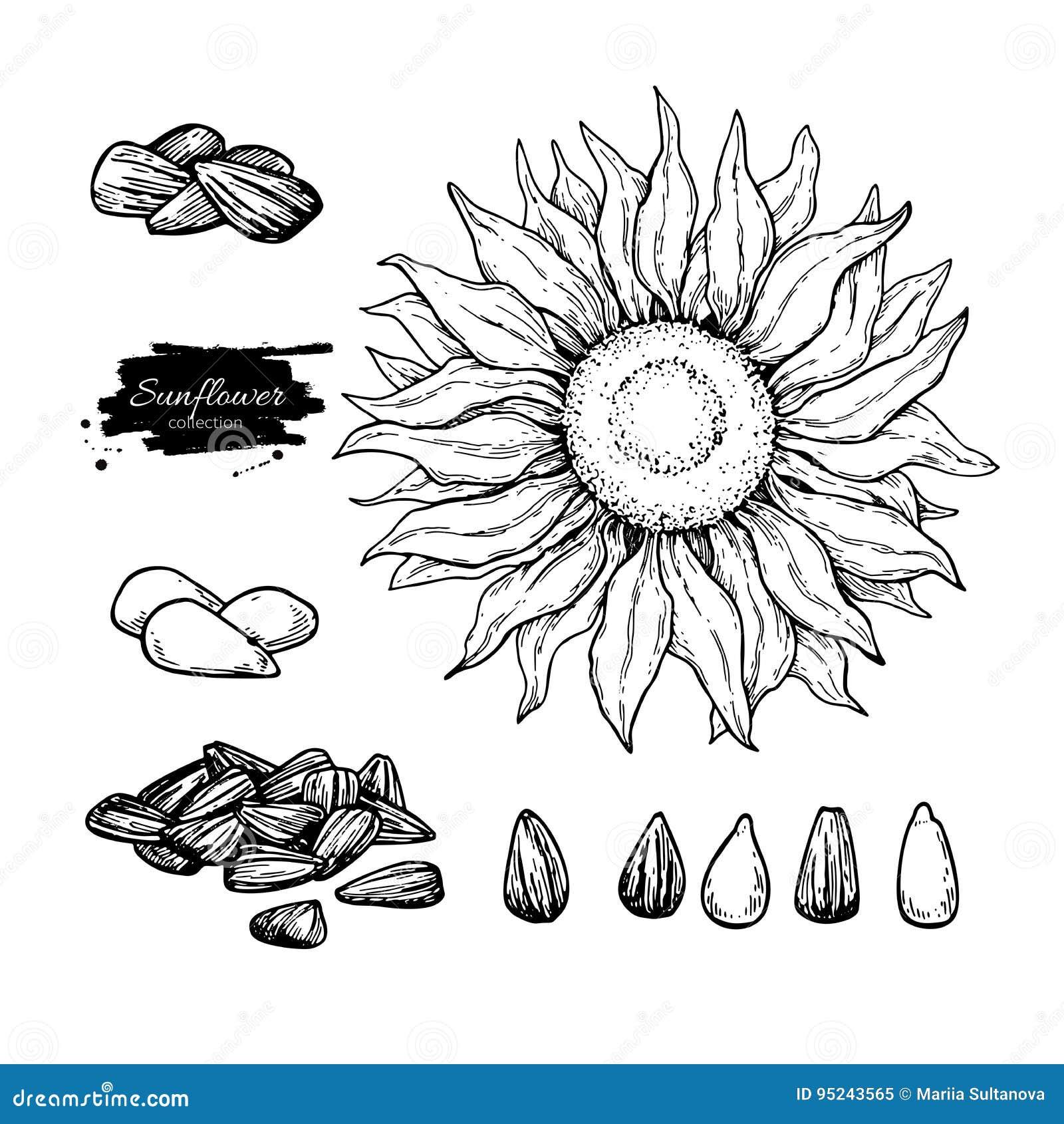 dessiner une fleur de tournesol id e d 39 image de fleur. Black Bedroom Furniture Sets. Home Design Ideas