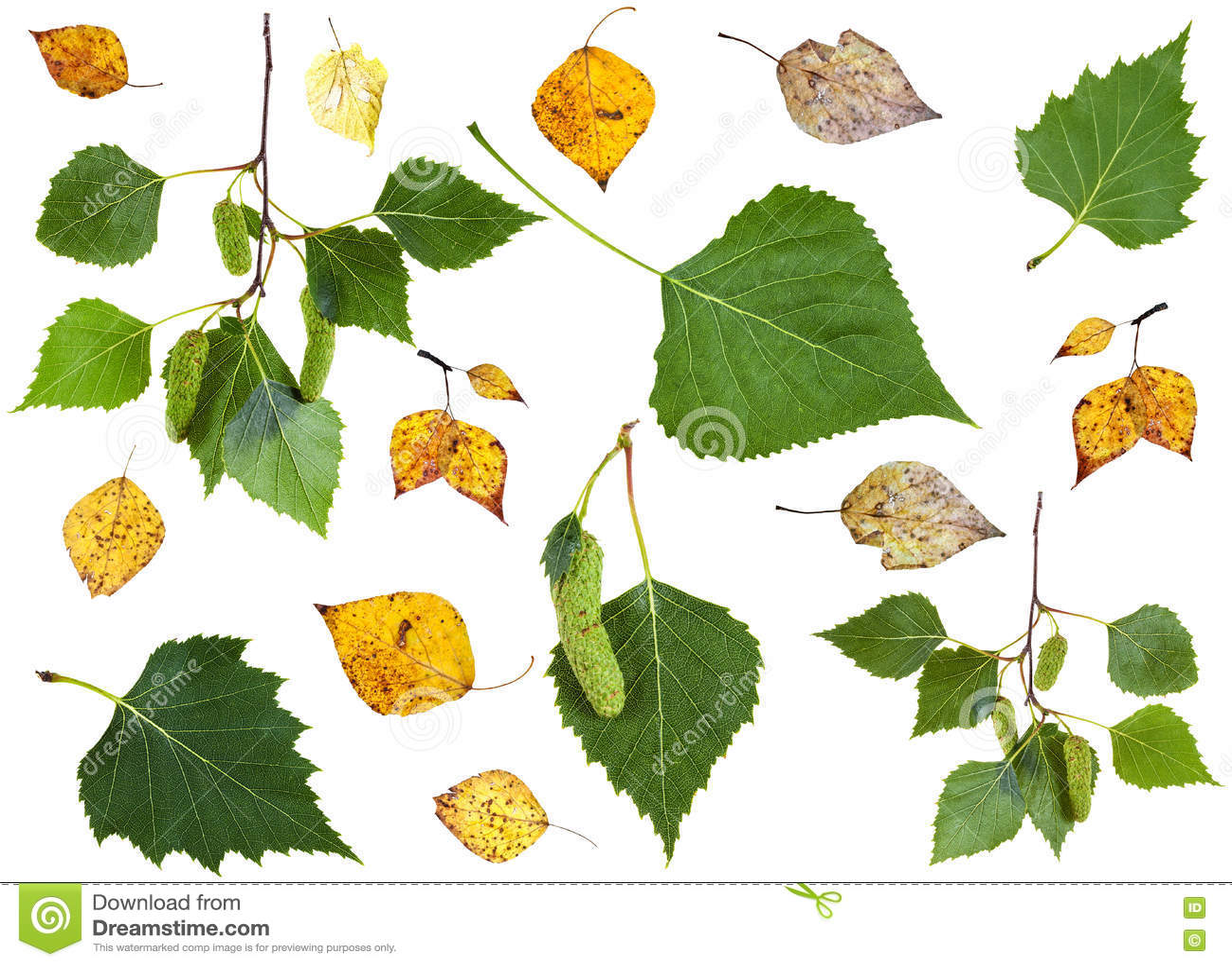 Ensemble de feuilles de bouleau jaune de vert et d 39 automne - Feuille de bouleau photo ...