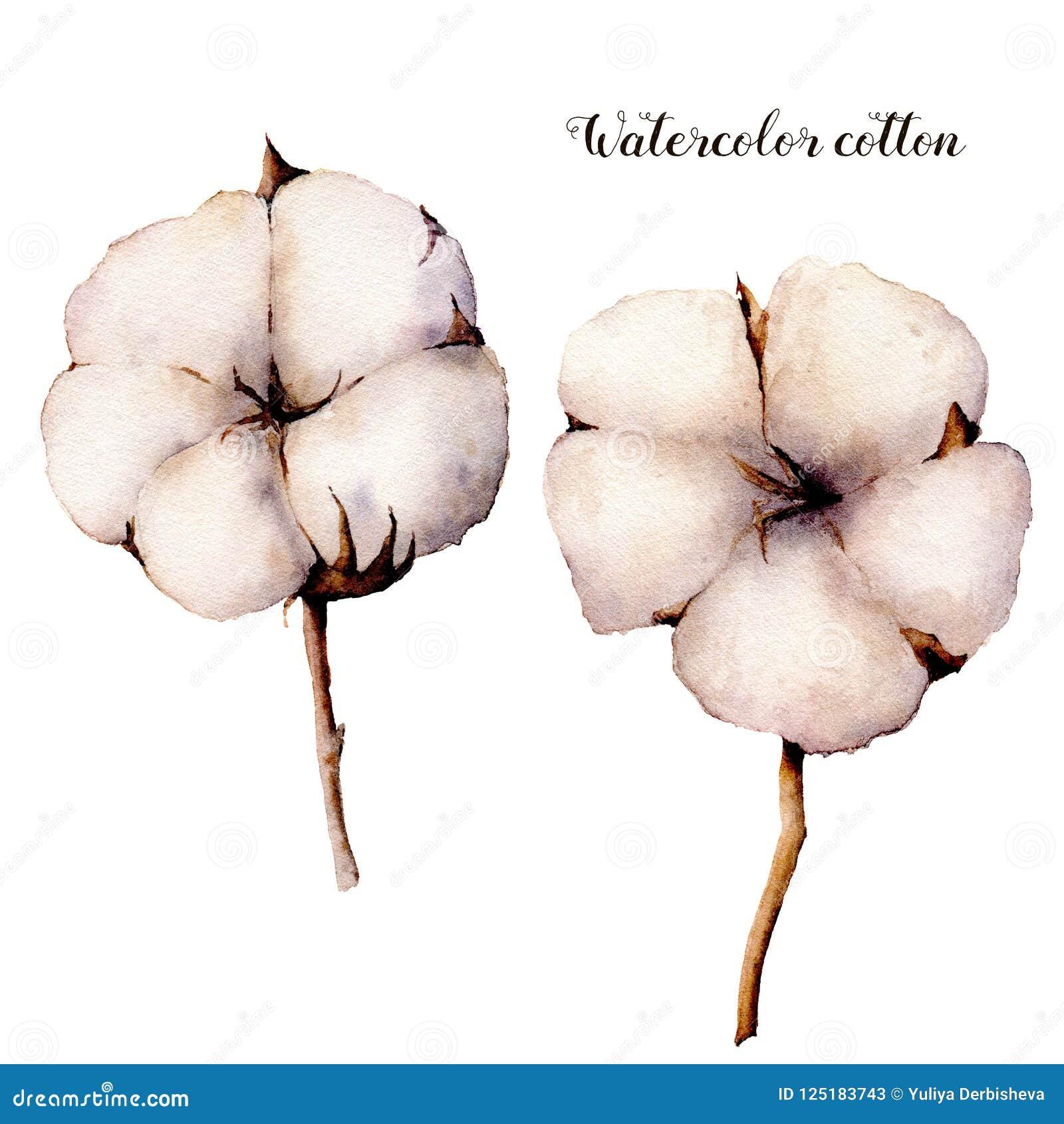 Branche Fleur De Coton ensemble de fleur de coton d'aquarelle branche peinte à la