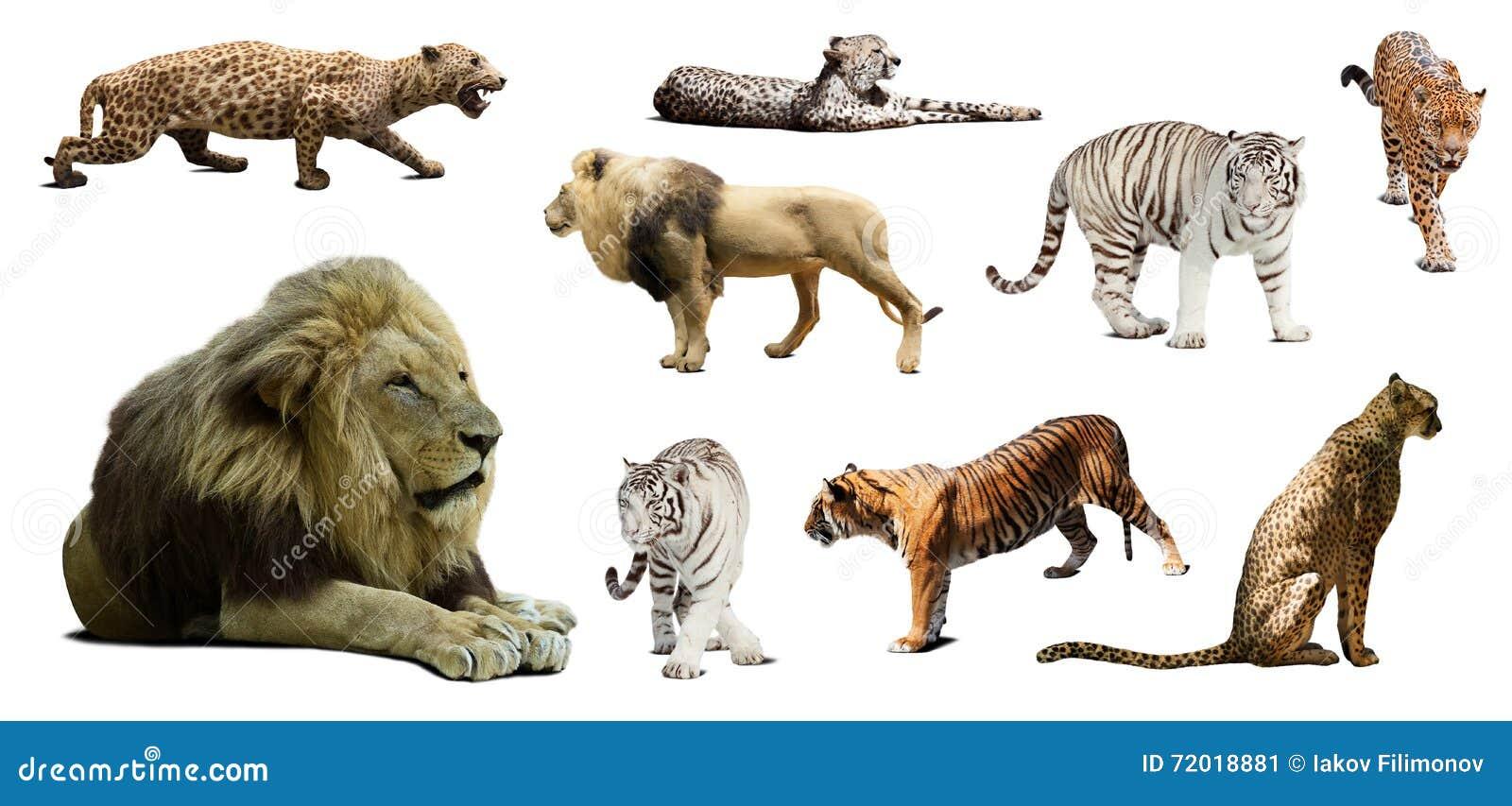 Ensemble de lion masculin et d autres grands chats sauvages