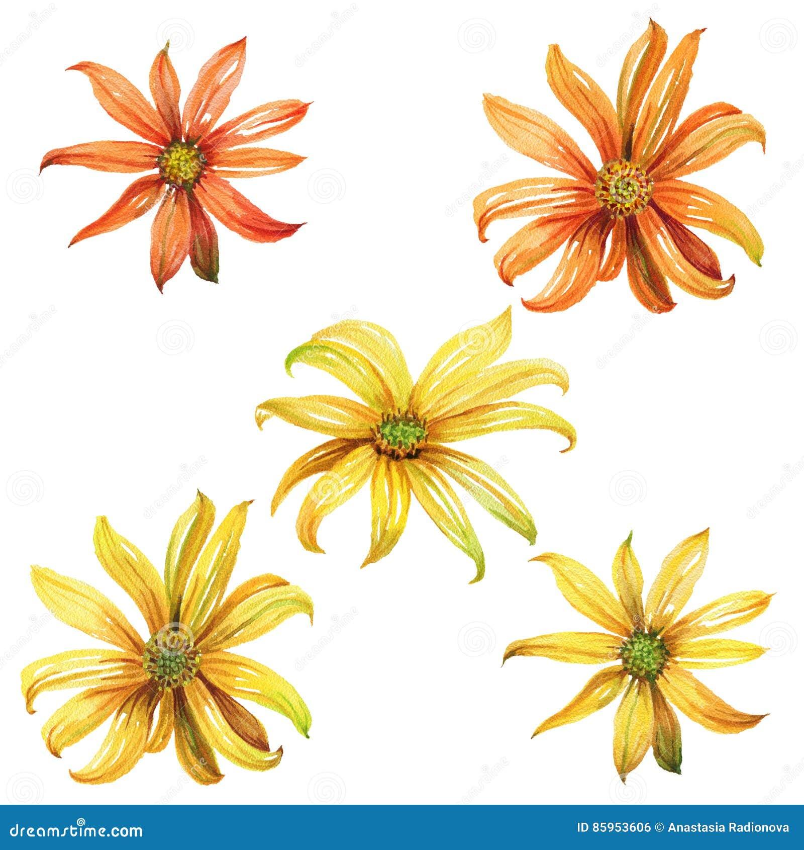 Ensemble de marguerites jaunes et oranges d aquarelle