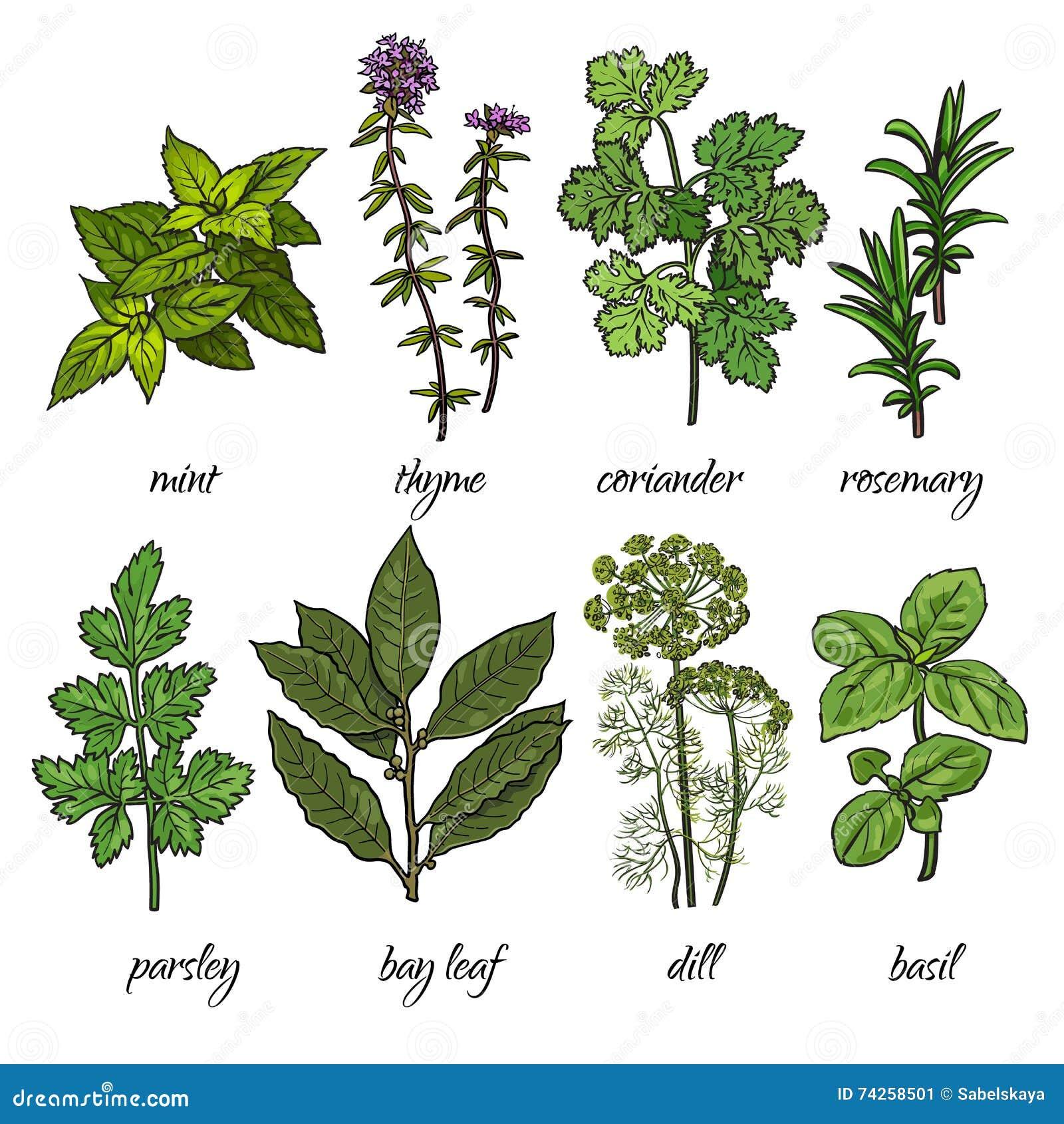 ensemble de romarin menthe thym coriandre persil basilic herbes d 39 aneth illustration de. Black Bedroom Furniture Sets. Home Design Ideas