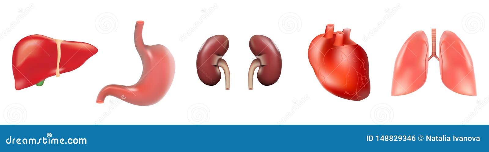 Ensemble différent des organes 3D humains avec des reins d estomac de foie de poumons de coeur d isolement sur l illustration bla