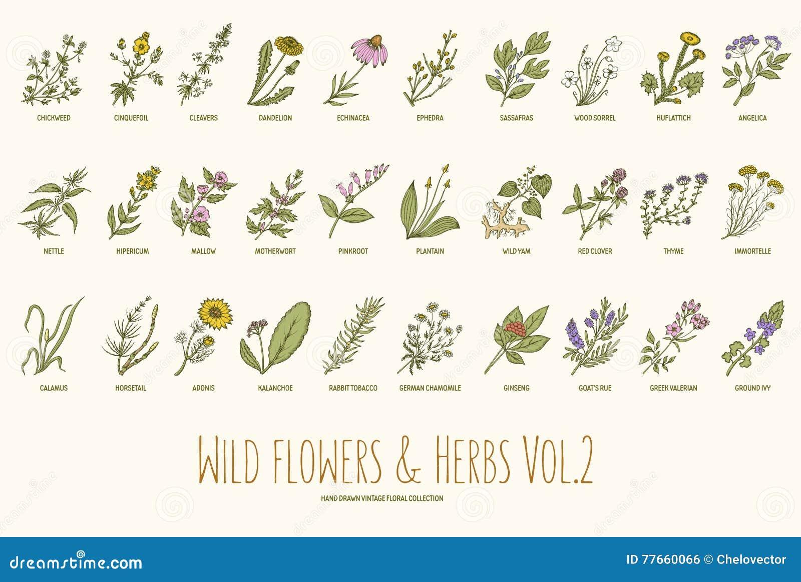 Ensemble tiré par la main de fleurs sauvages et d herbes Volume 2 Illustration de vecteur de vintage