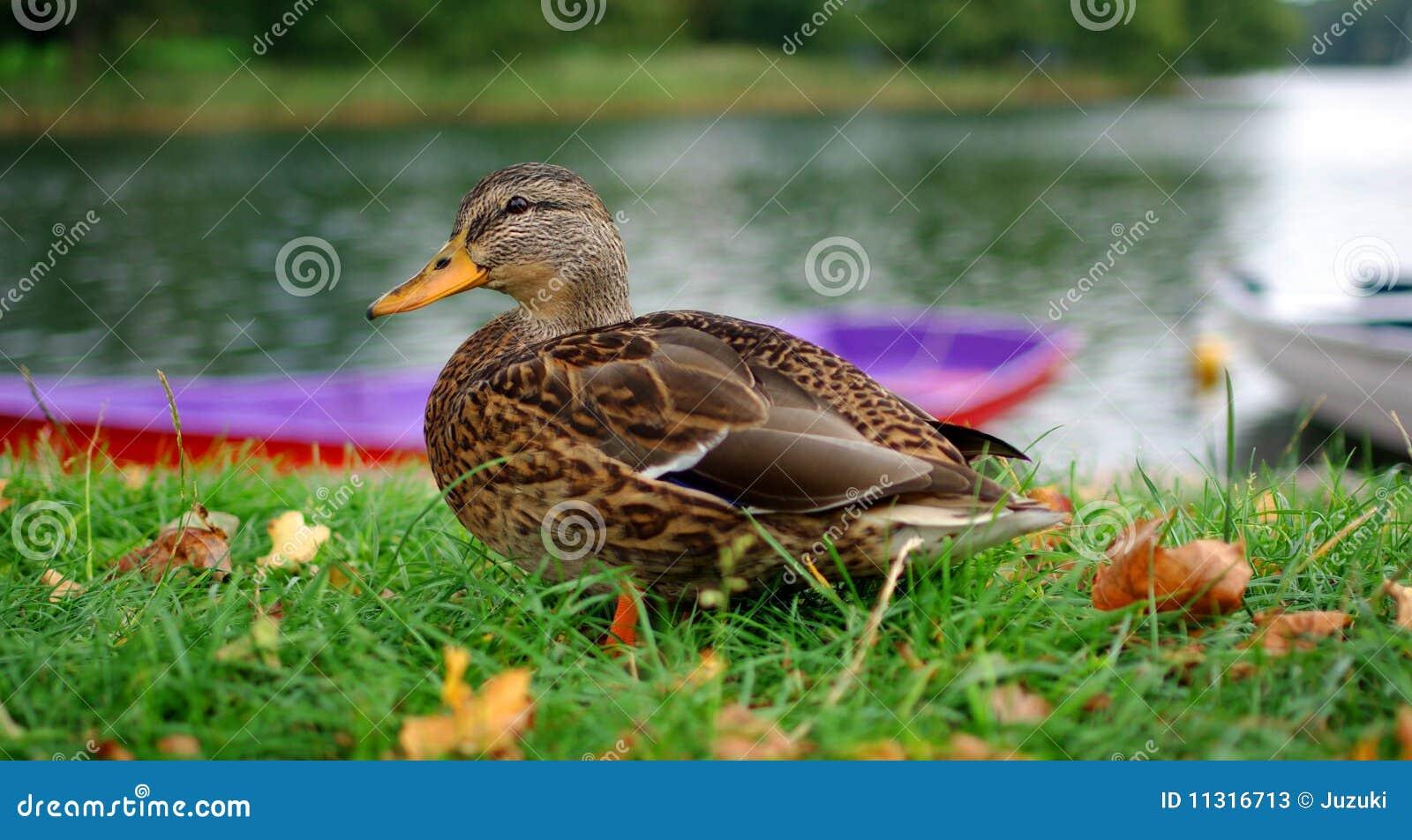Ente auf Gras