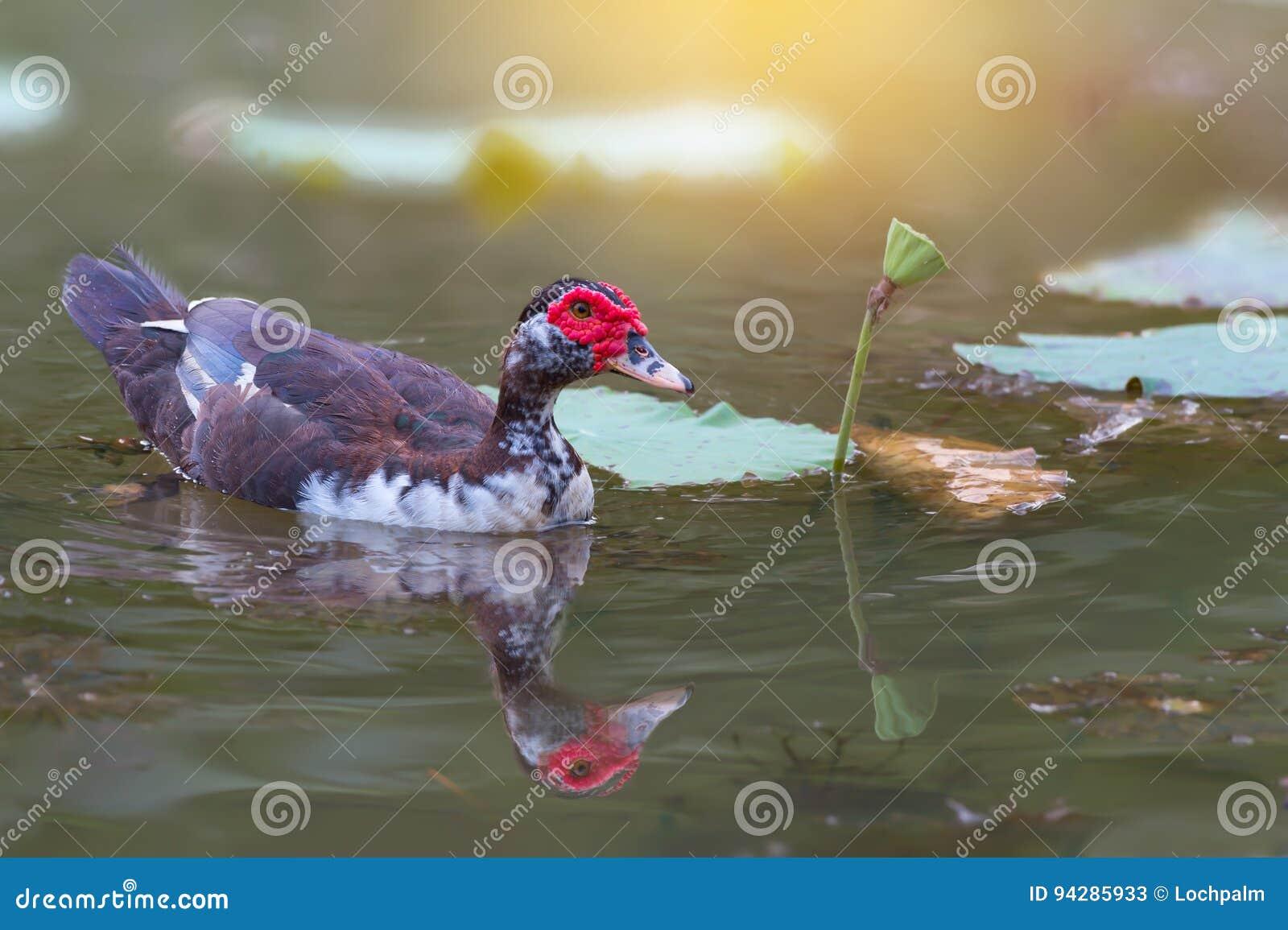 Ente des roten Gesichtes und Lotosblume