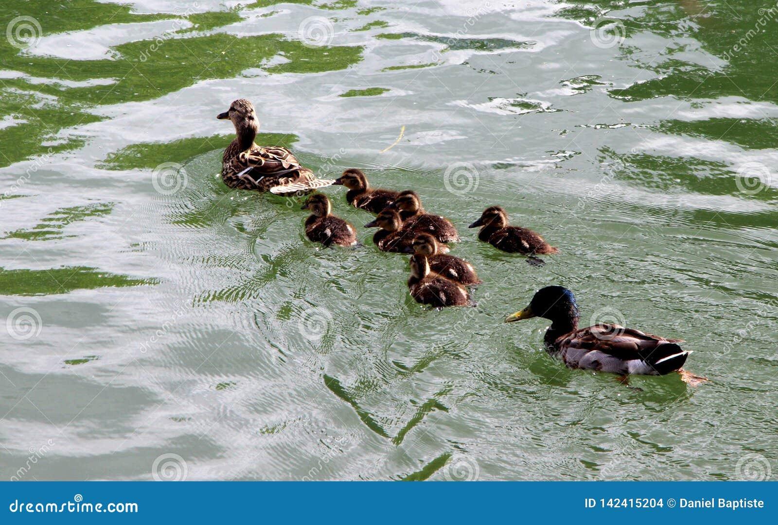 Ente, eine Mutter und ihre Jungen schwimmen ruhig