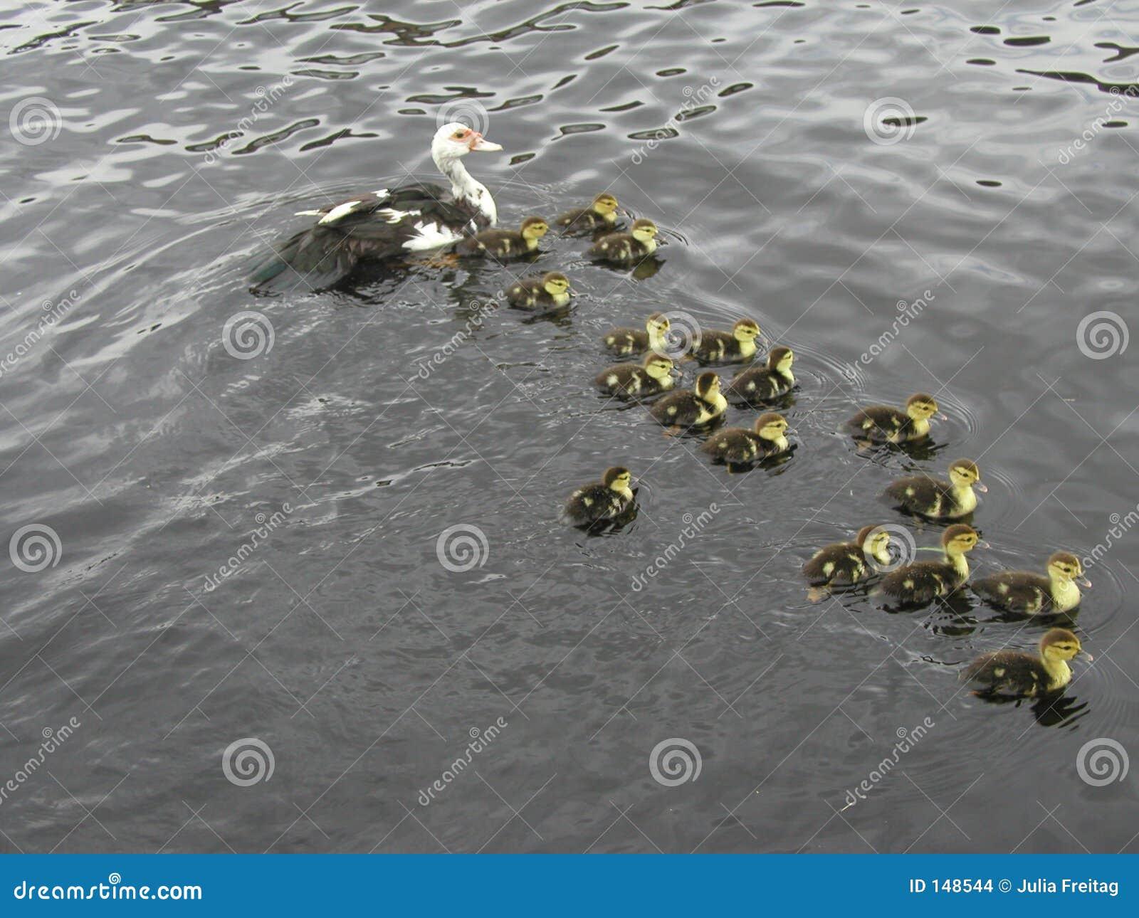 Ente mit 17 Kleinkindern