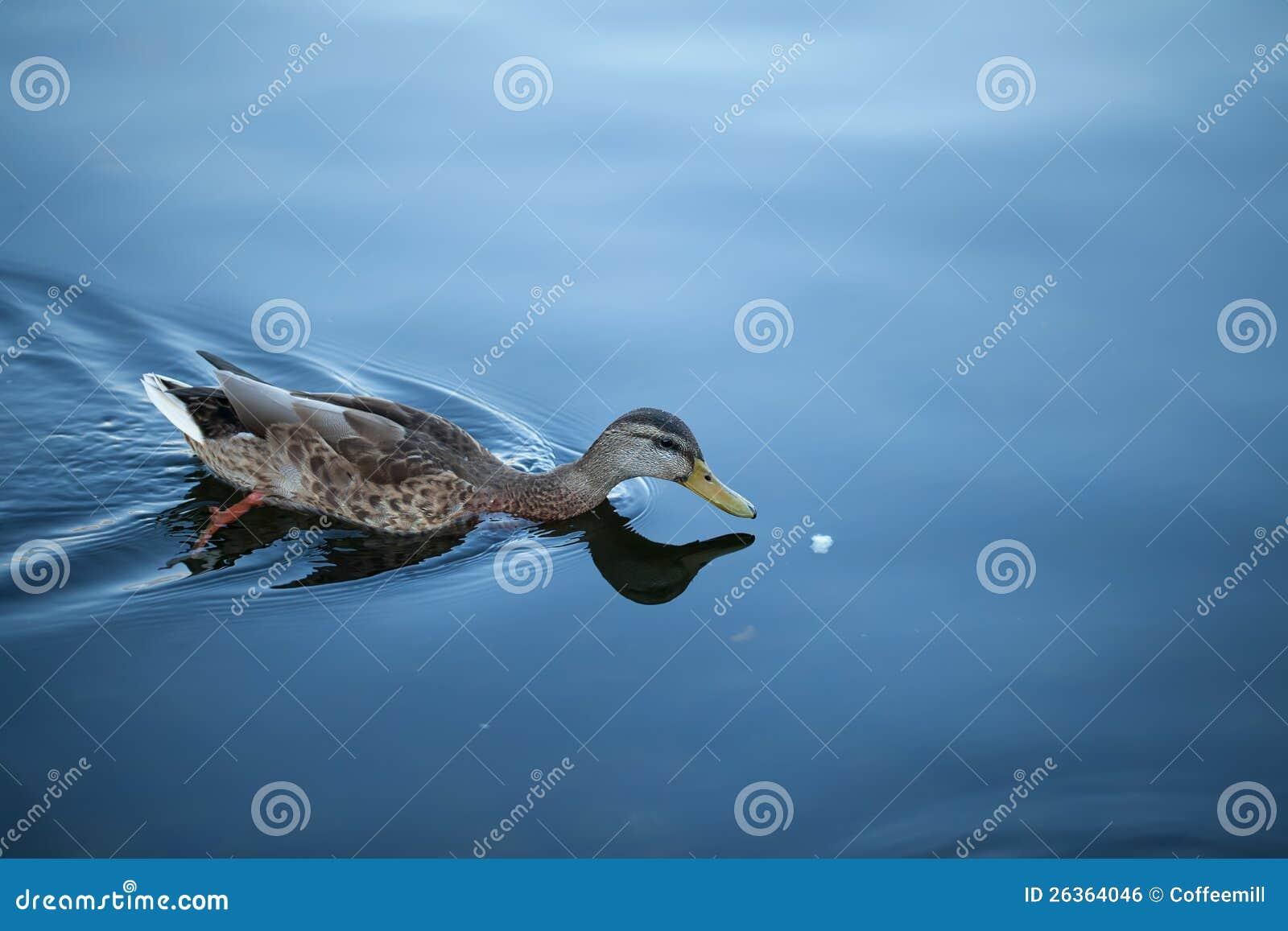 Ente schwimmt hinter Brot