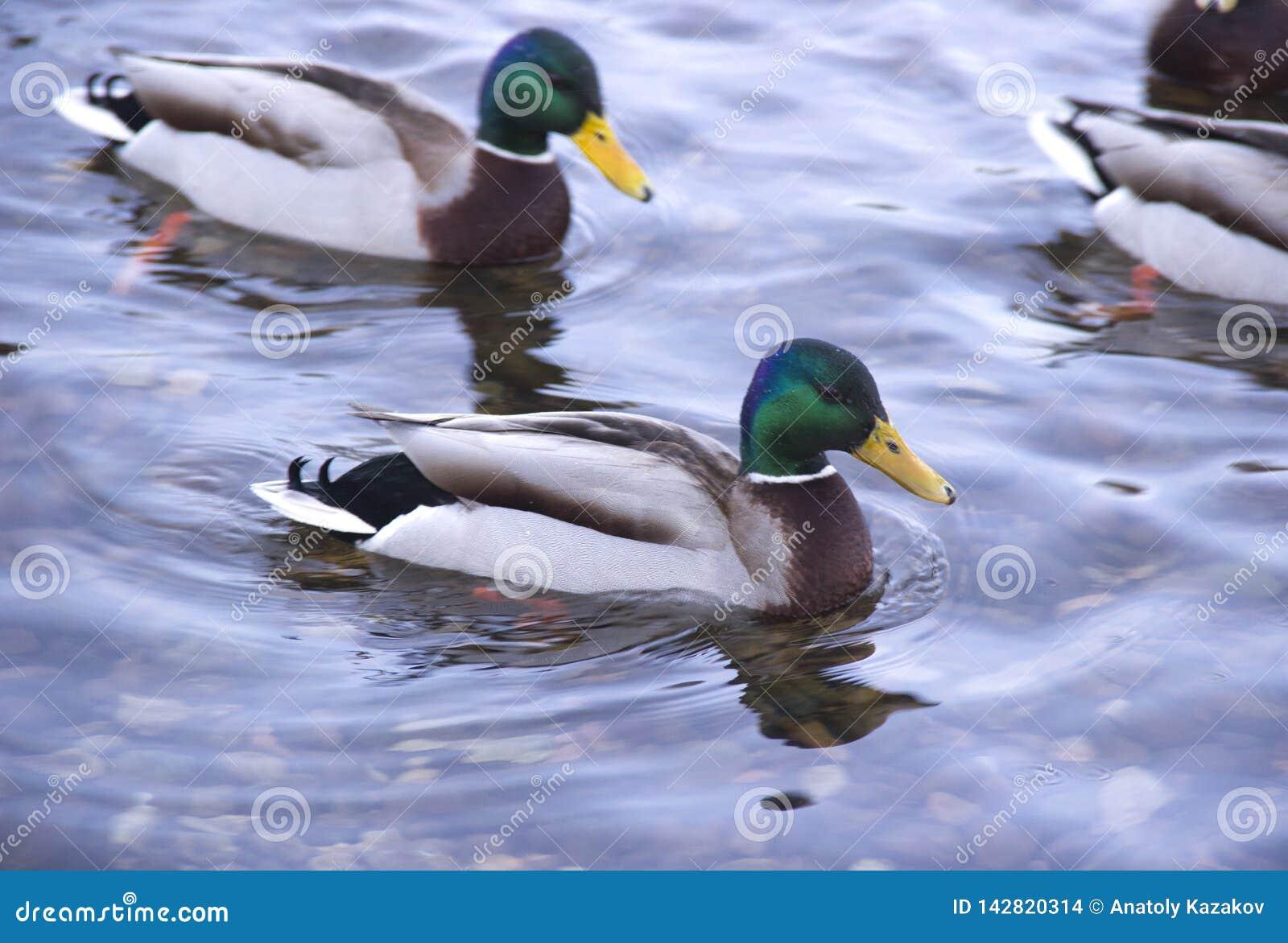 Enten auf dem Fluss