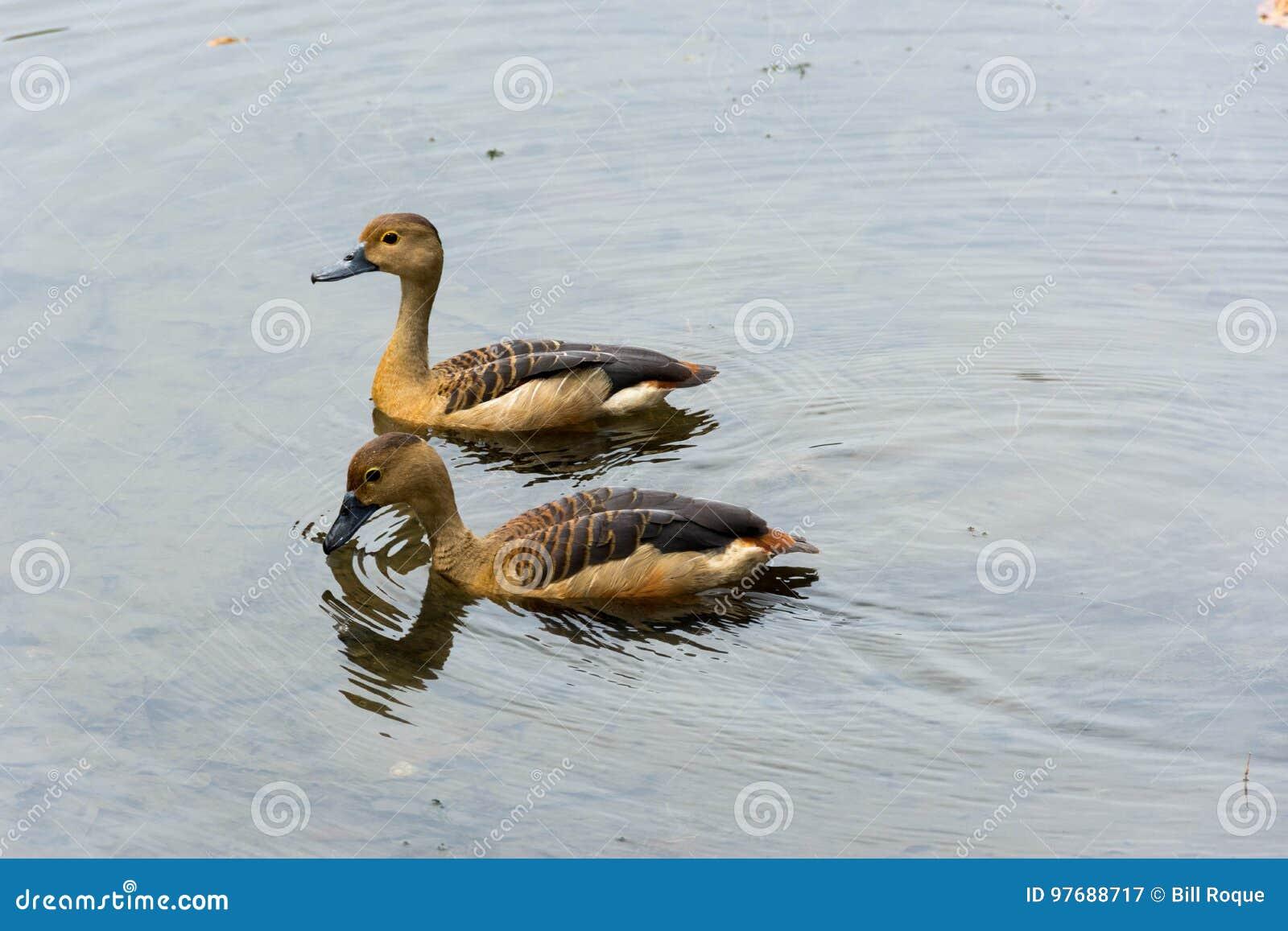 Enten, die in einem See schwimmen