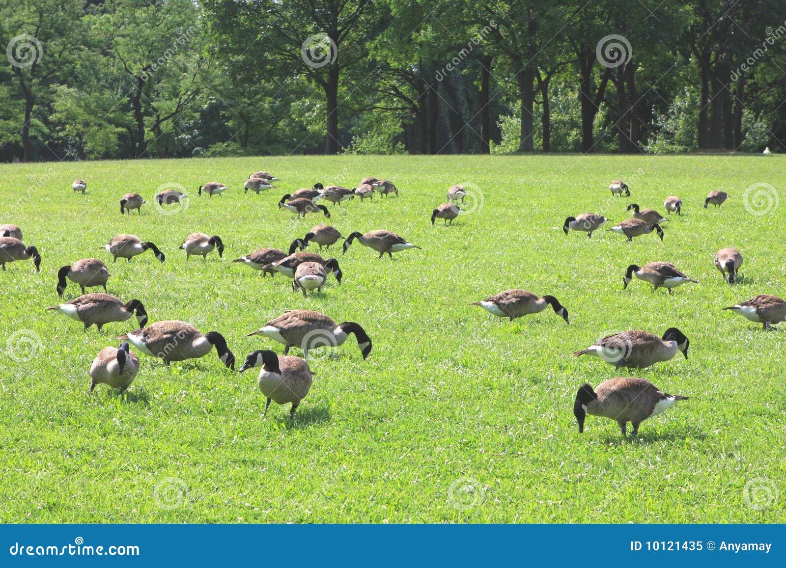 Fußboden Graß Essen ~ Enten die gras essen stockbild bild von pelz gans