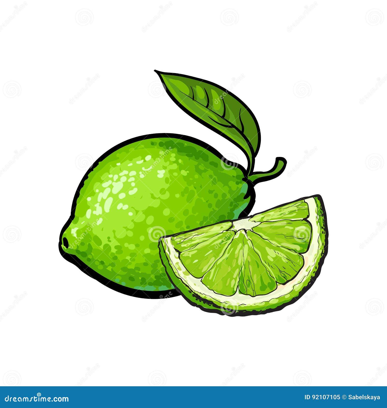 Entero y cuarto de la cal verde sin pelar, ejemplo del vector del bosquejo