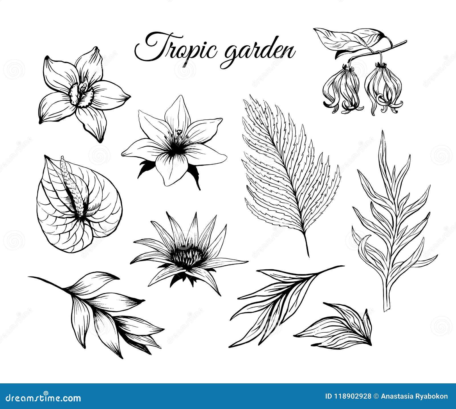 Entinte Las Flores Tropicales Del Bosquejo Y El Vector Fijado Las