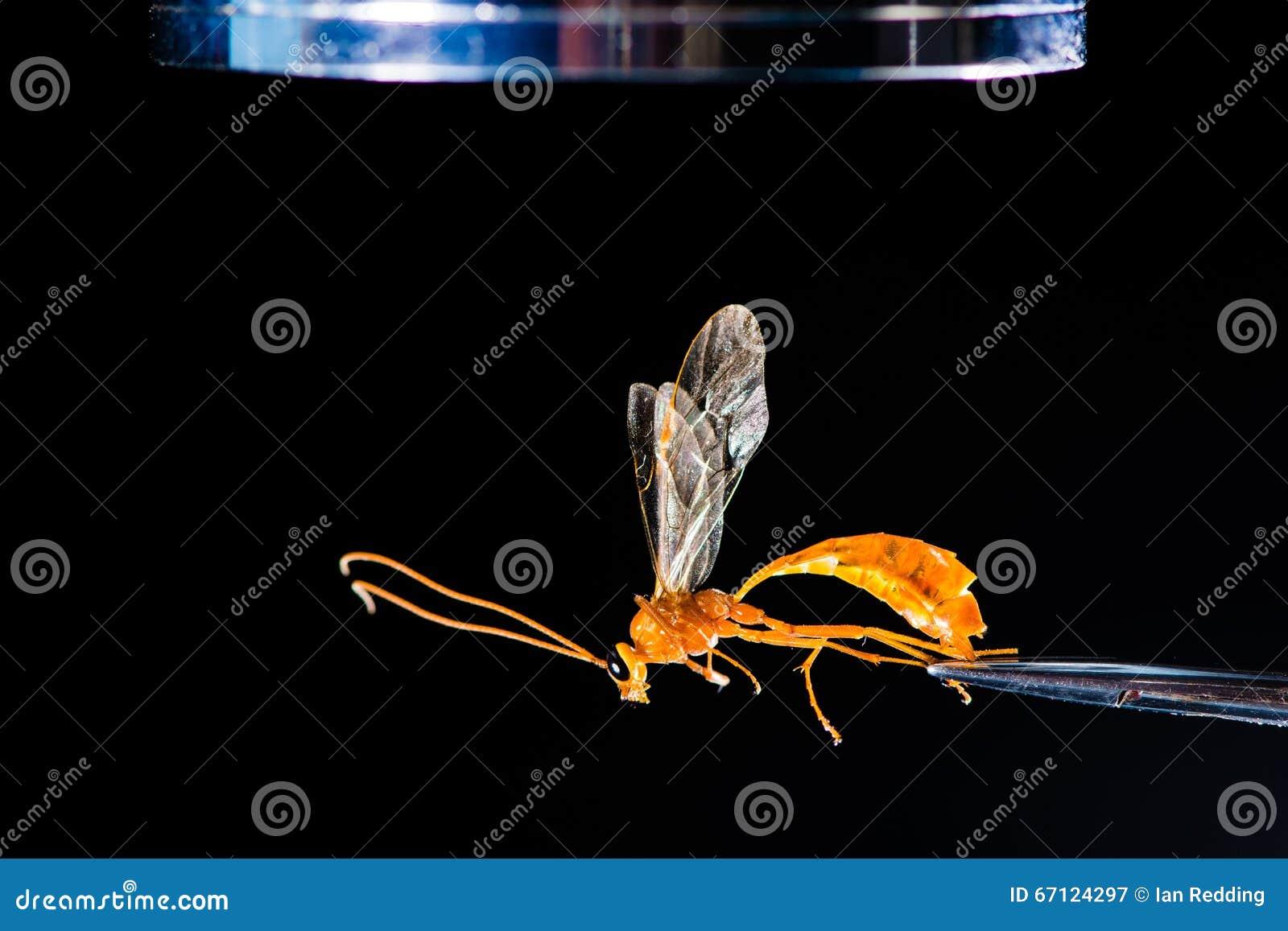 Entomologisch materiaal met wesp