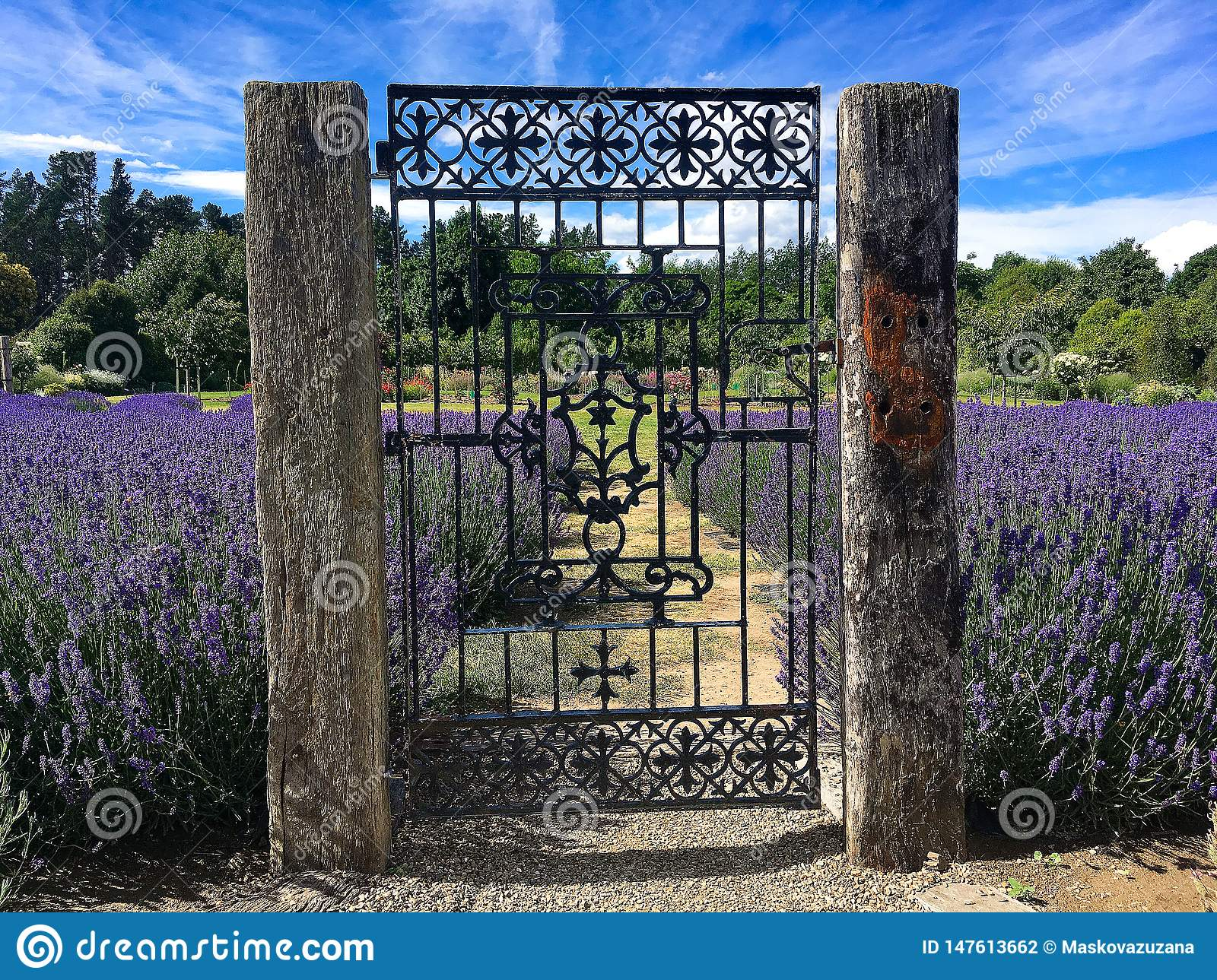 Entrance to blooming lavender garden