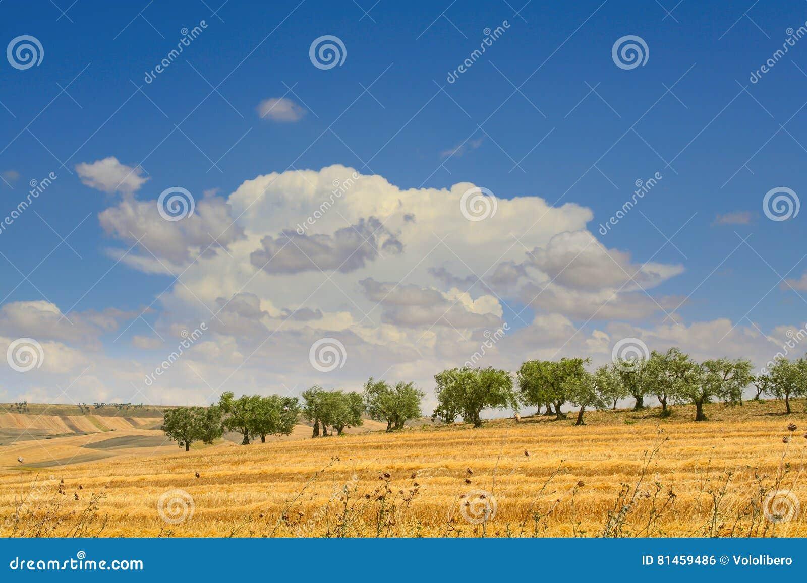 Entre Apulia e Basilicata: bosque verde-oliva nos campos colhidos Campo montanhoso dominado pelo cl