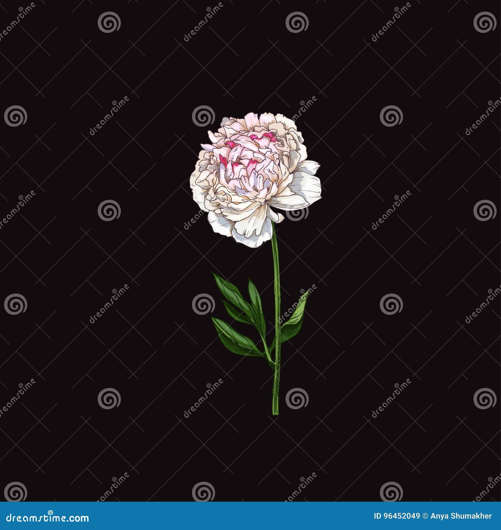 Entregue a flor cor-de-rosa delicadamente tirada da peônia isolada no fundo preto botanical