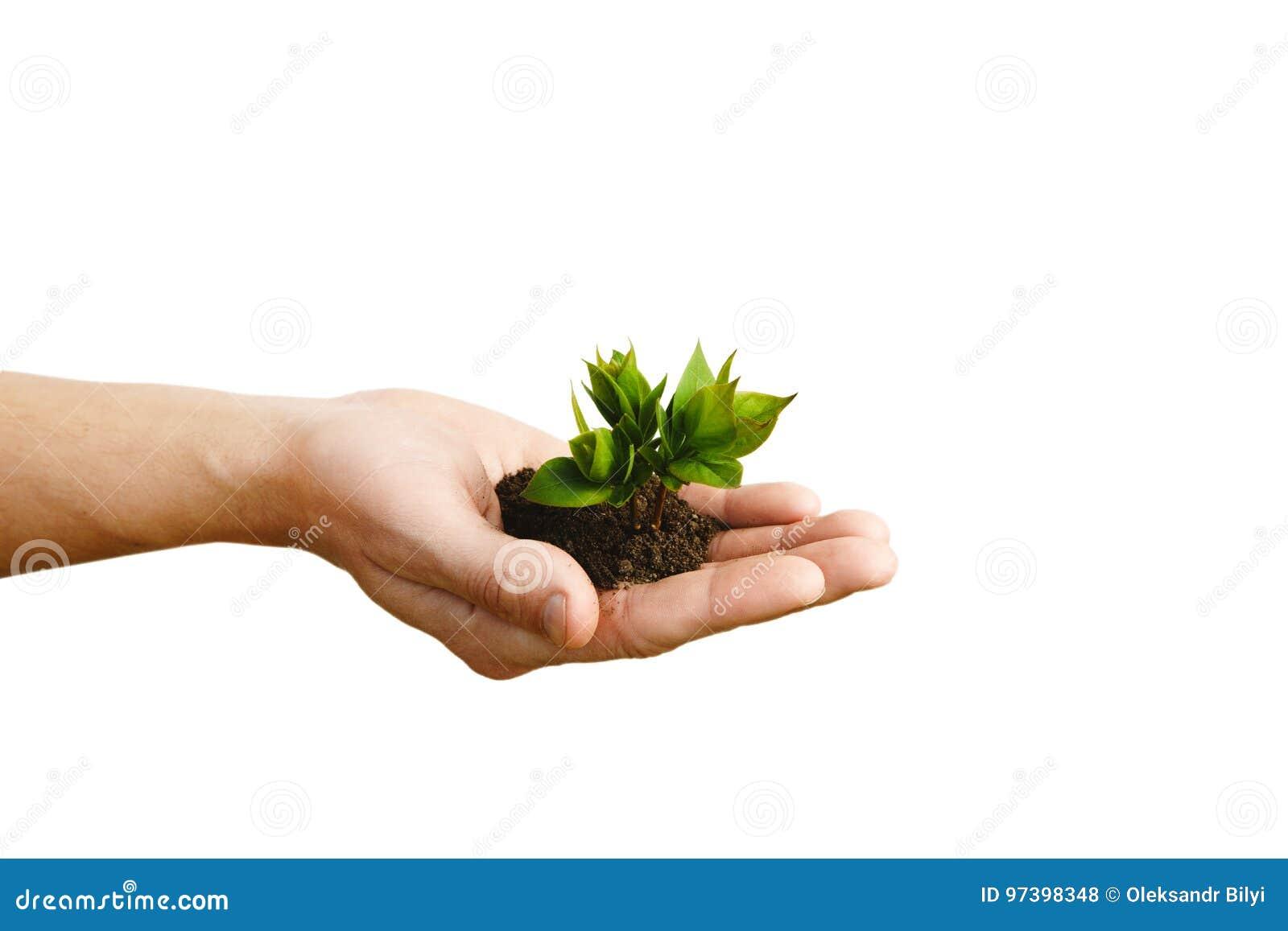 Entregue guardar a planta nova pequena, árvore nova isolada no CCB branco
