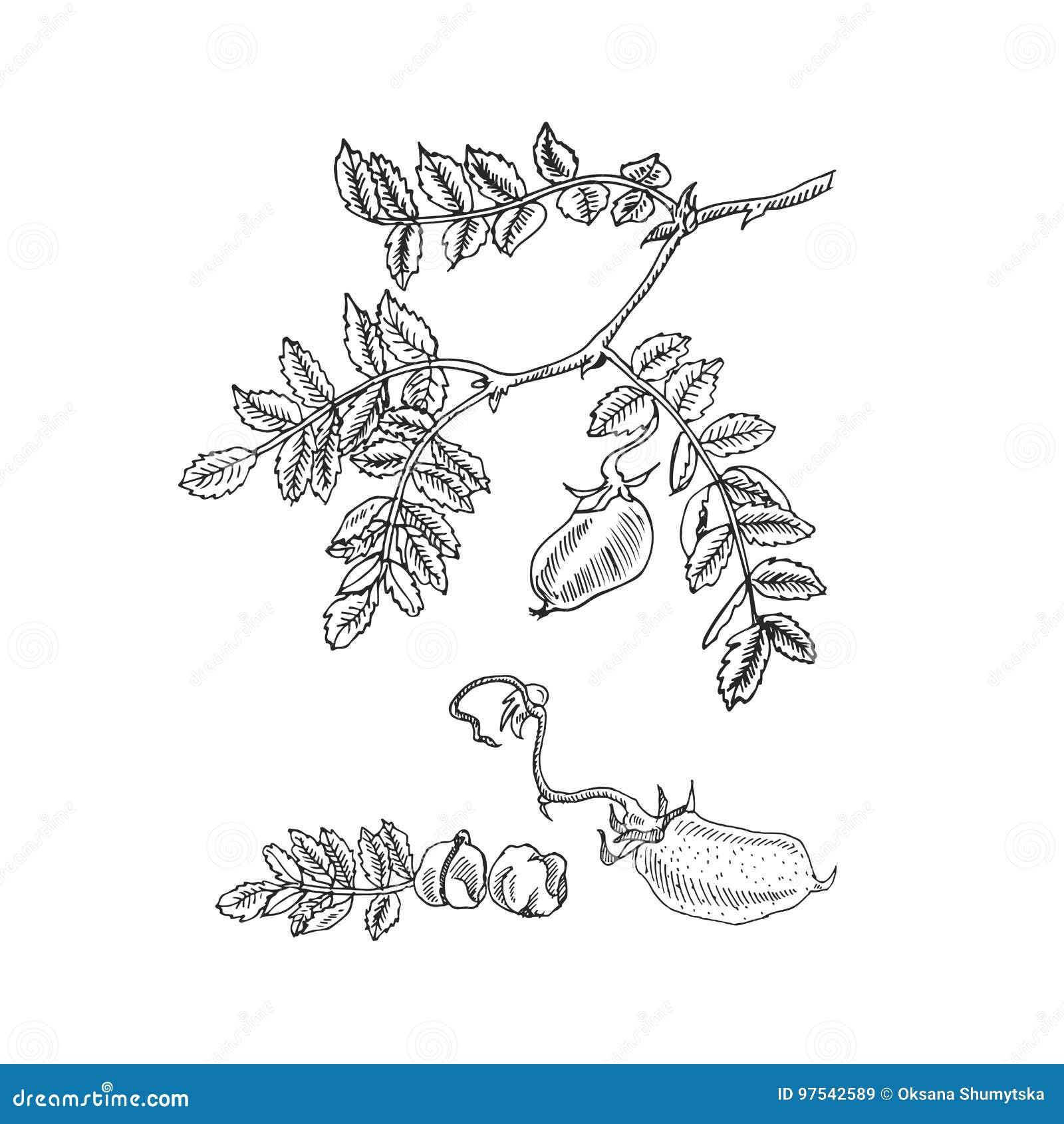 Entregue a soja tirada do esboço, grão-de-bico, feijão, planta de lentilha Ilustração do vetor