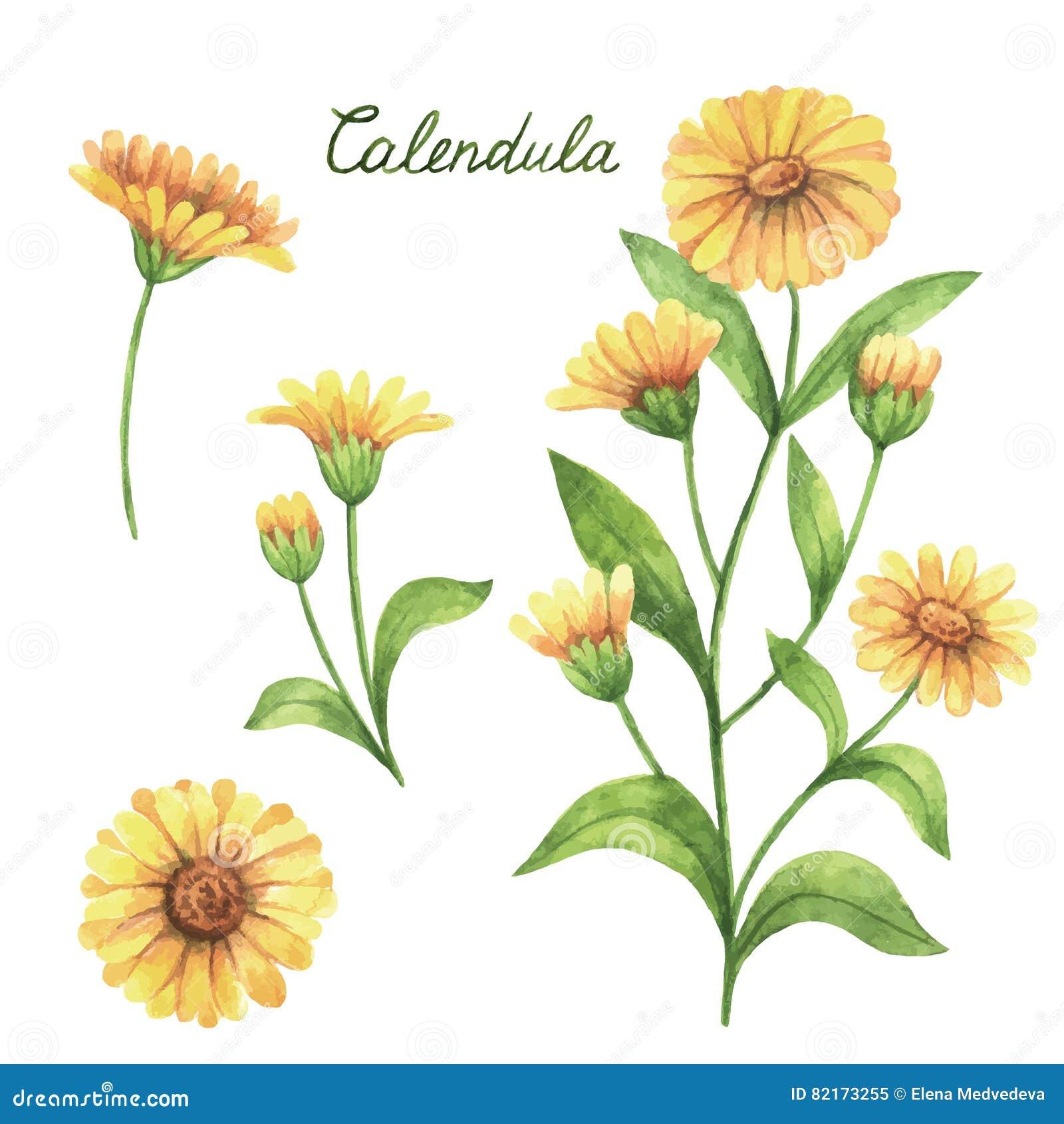 Entregue a vetor tirado da aquarela a ilustração botânica do calendula, cravo-de-defunto