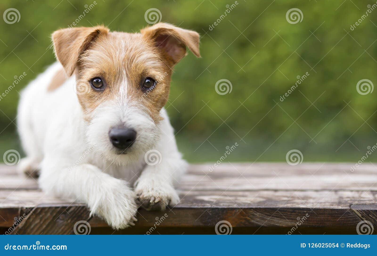 Entrenamiento del animal doméstico - mirada feliz elegante del perrito del perro de Russell del enchufe