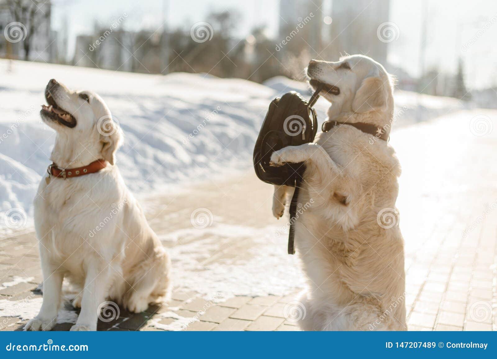 Entrenamiento hermoso de dos Labrador
