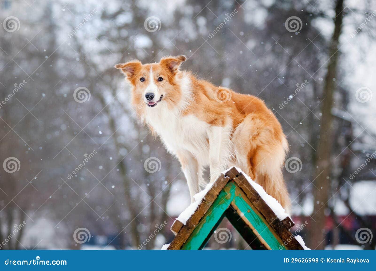 Entrenamiento rojo del border collie del perro en invierno
