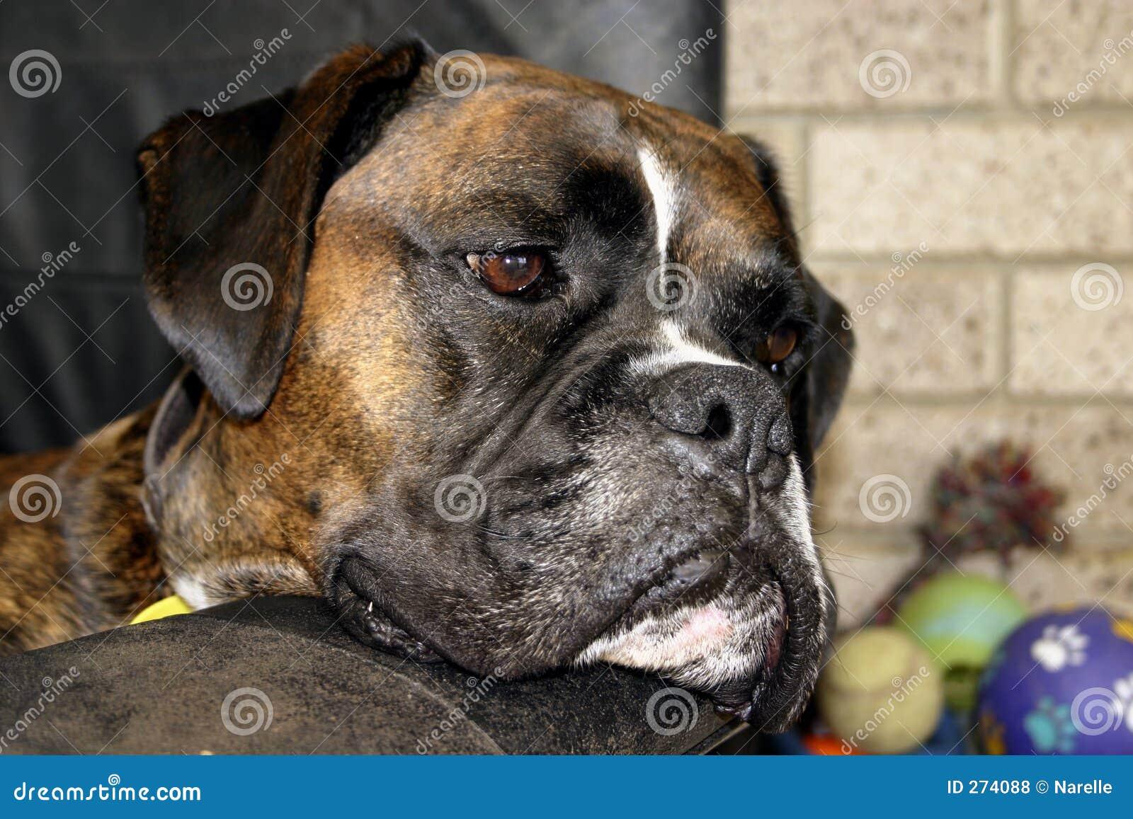 entspannender boxer hund lizenzfreie stockfotos bild 274088. Black Bedroom Furniture Sets. Home Design Ideas