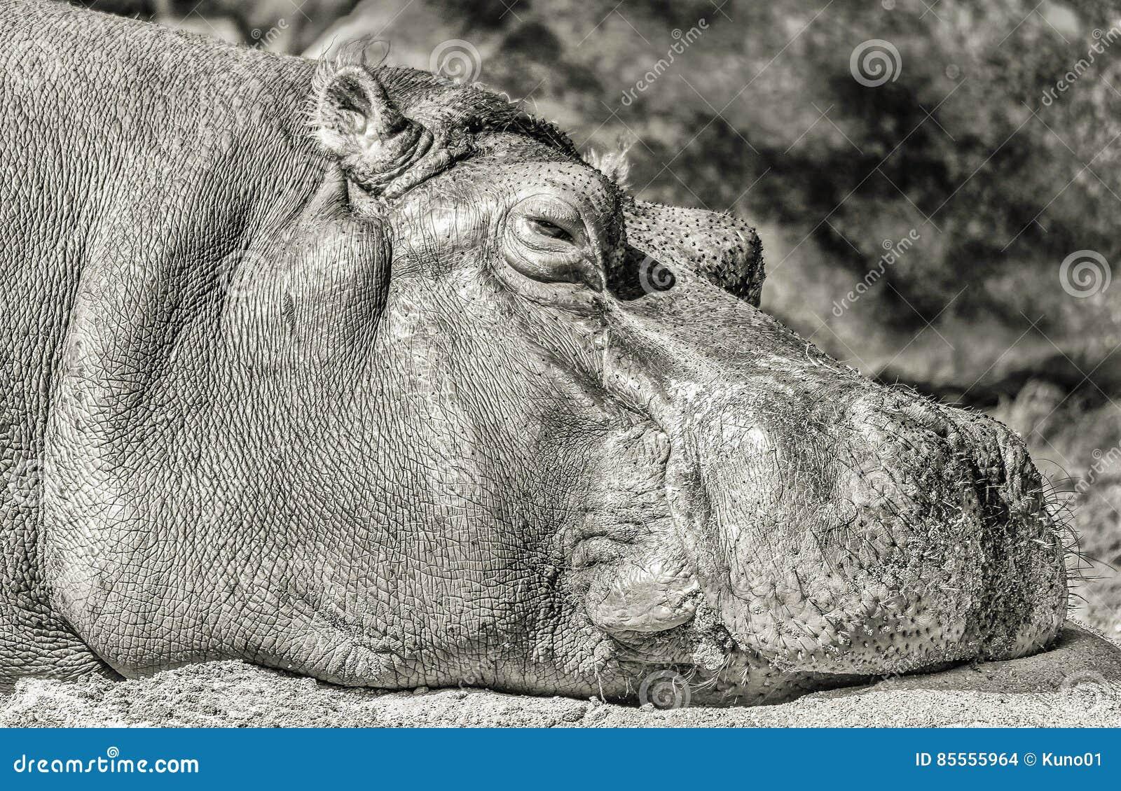 Entspannendes Flusspferd im monochrom