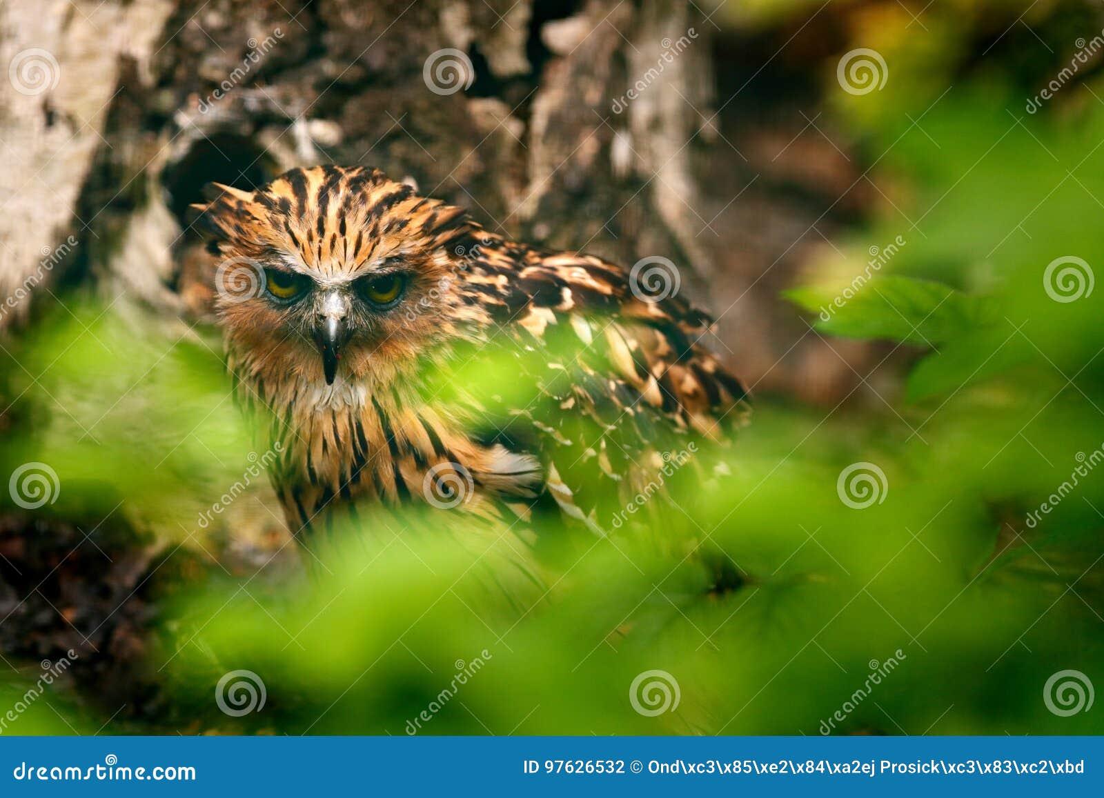 Entuzjastyczna sowa, Ketupa ketupu, rzadki ptak od Azja Malezja piękna sowa w natura lasu siedlisku Ptak od Malezja Ryba