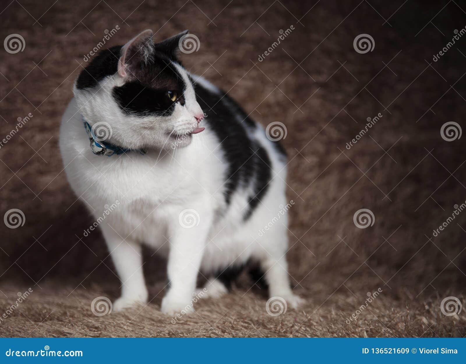 Entzückende Katze, die Blicke des blauen Kragens trägt, um beim Keuchen mit Seiten zu versehen
