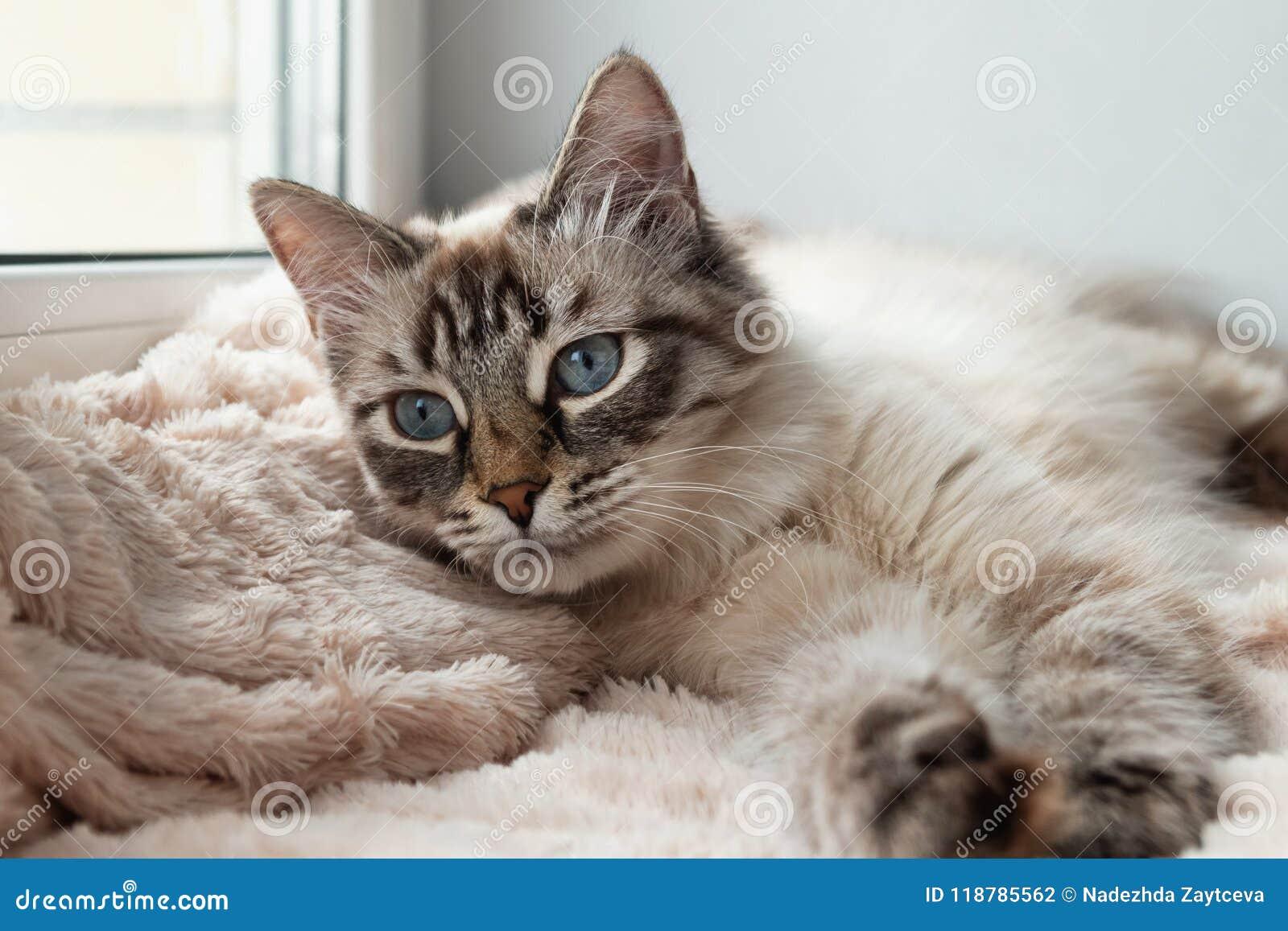Entzückende Pelzkatze der Dichtungsluchs-Punktfarbe mit blauen Augen steht auf einer rosa Decke still