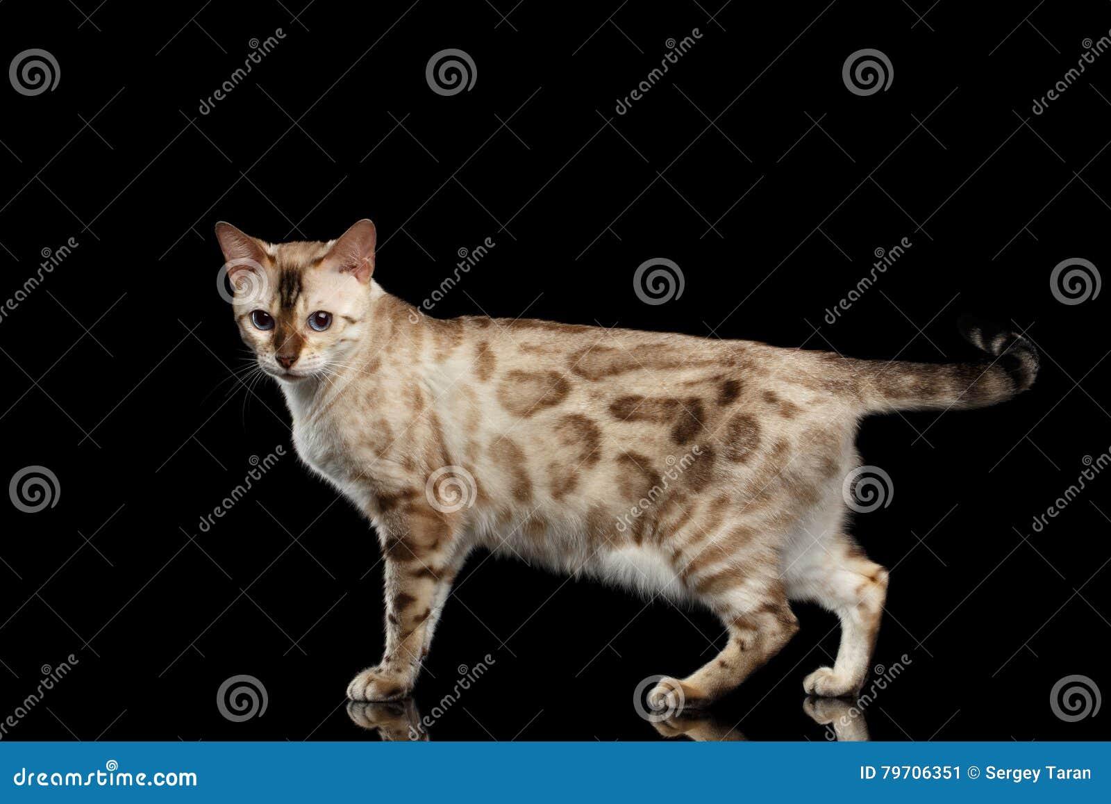 Entzückende Zucht Bengal-Katze lokalisiert auf schwarzem Hintergrund