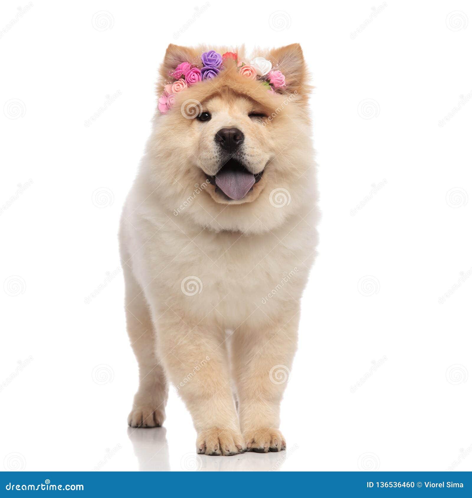 Entzückendes Chow-Chow, welches das keuchende und blinzelnde Stirnband der frischen Blumen trägt