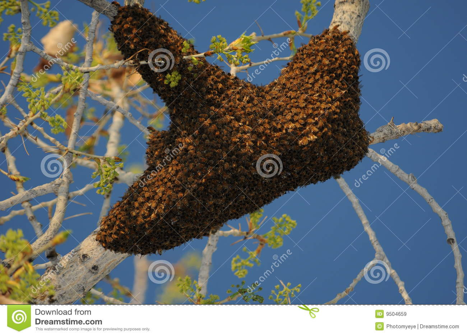 Enxame da abelha do mel