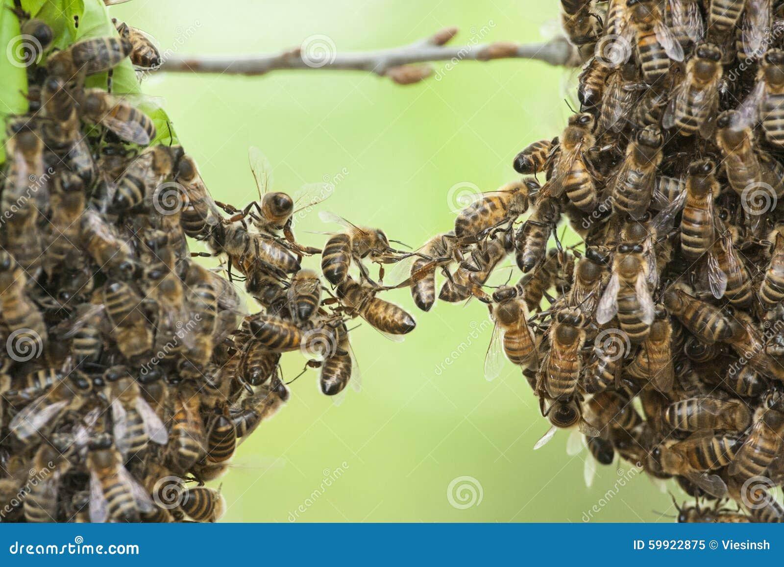 Enxame das abelhas