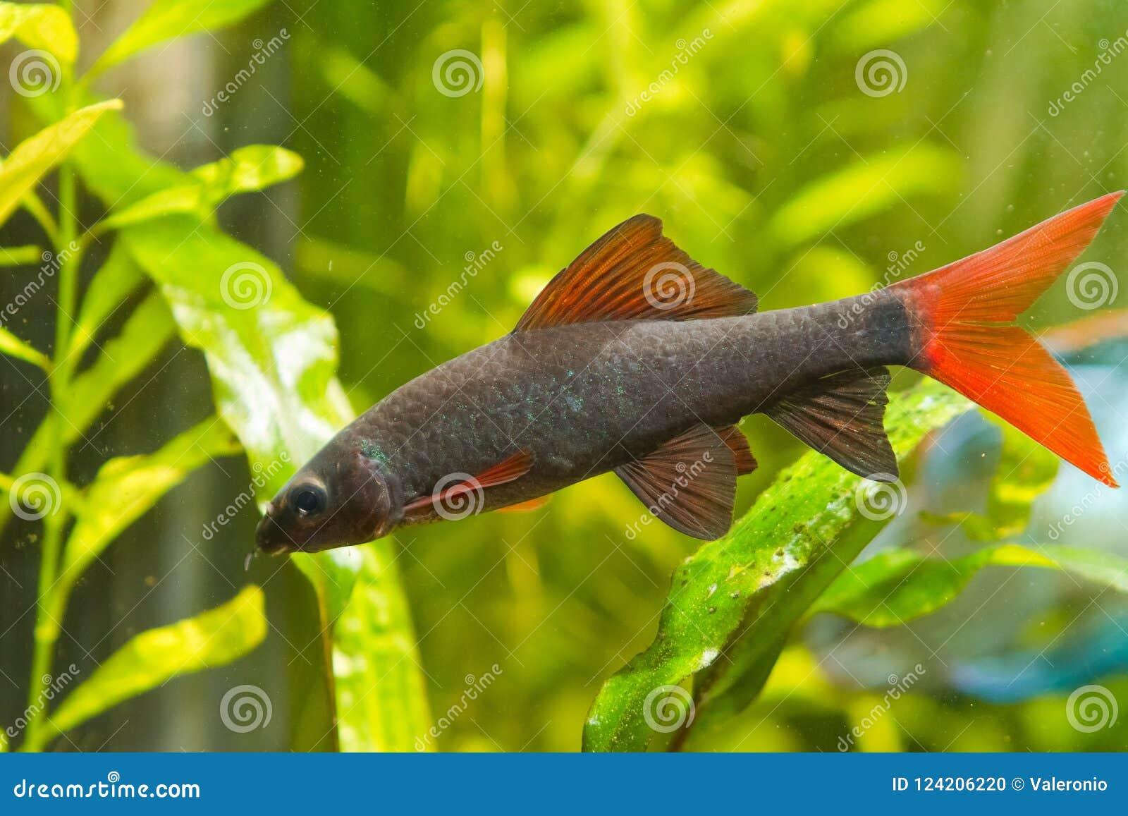 Epalzeorhynchosfrenatus, zoetwater schonere vissen, aardaquarium, de foto van de close-upaard