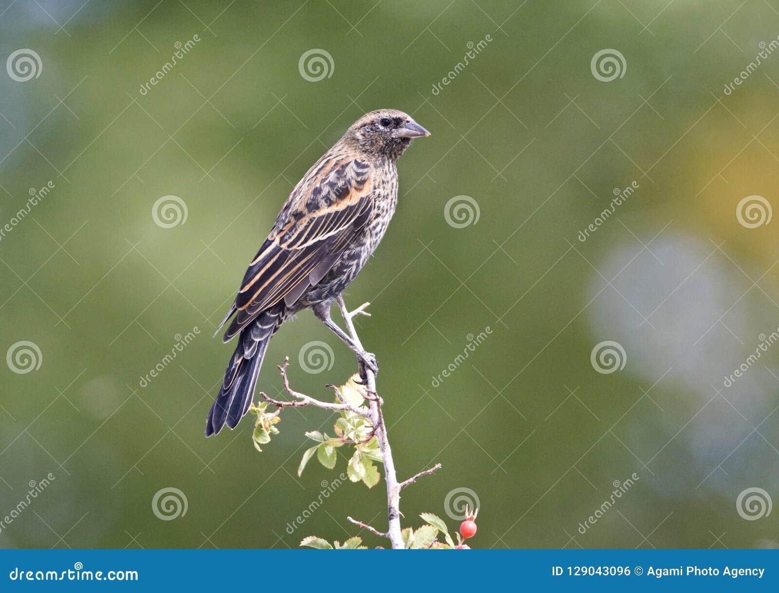 Epauletspreeuw, melro Vermelho-voado, phoeniceus do Agelaius