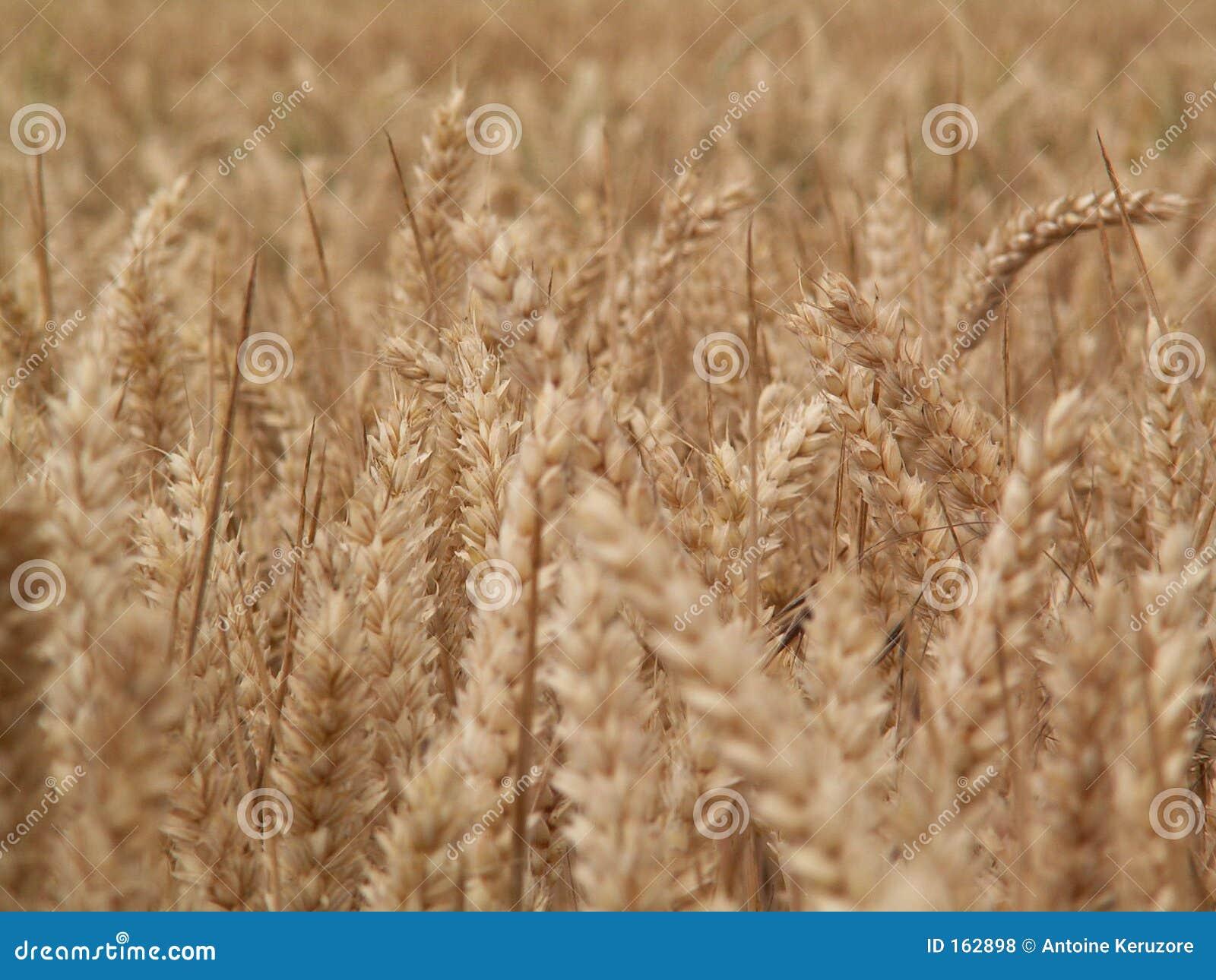 Epi麦子