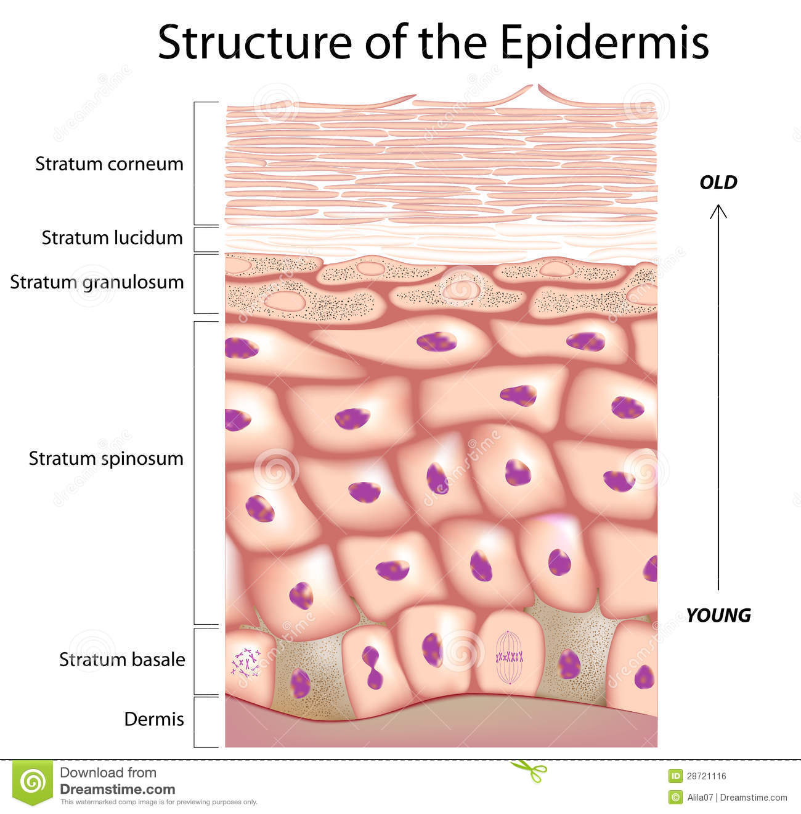 Epiderma skóra