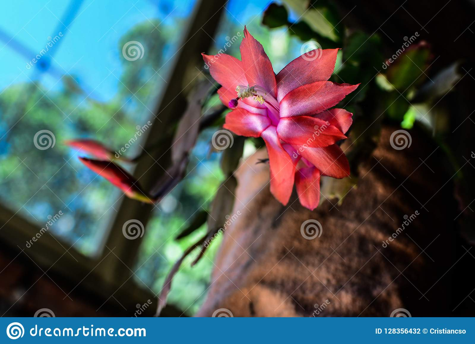 Epiphyllum, Santa teresita