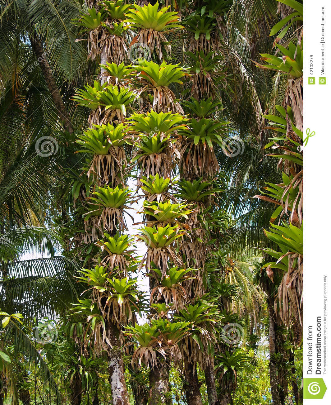 Many epiphytes Bromeliad on trunks of coconut palm trees, Caribbean ...